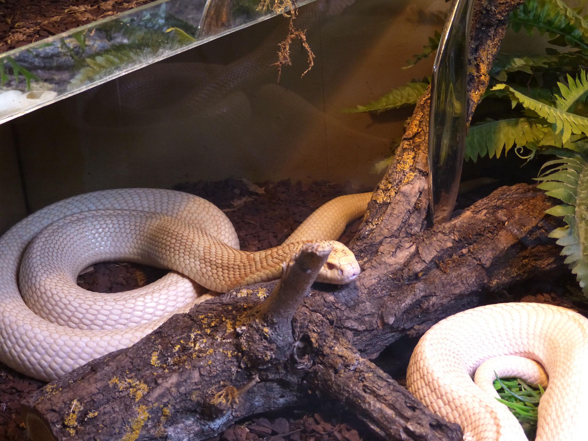 Kobra (Albino)
