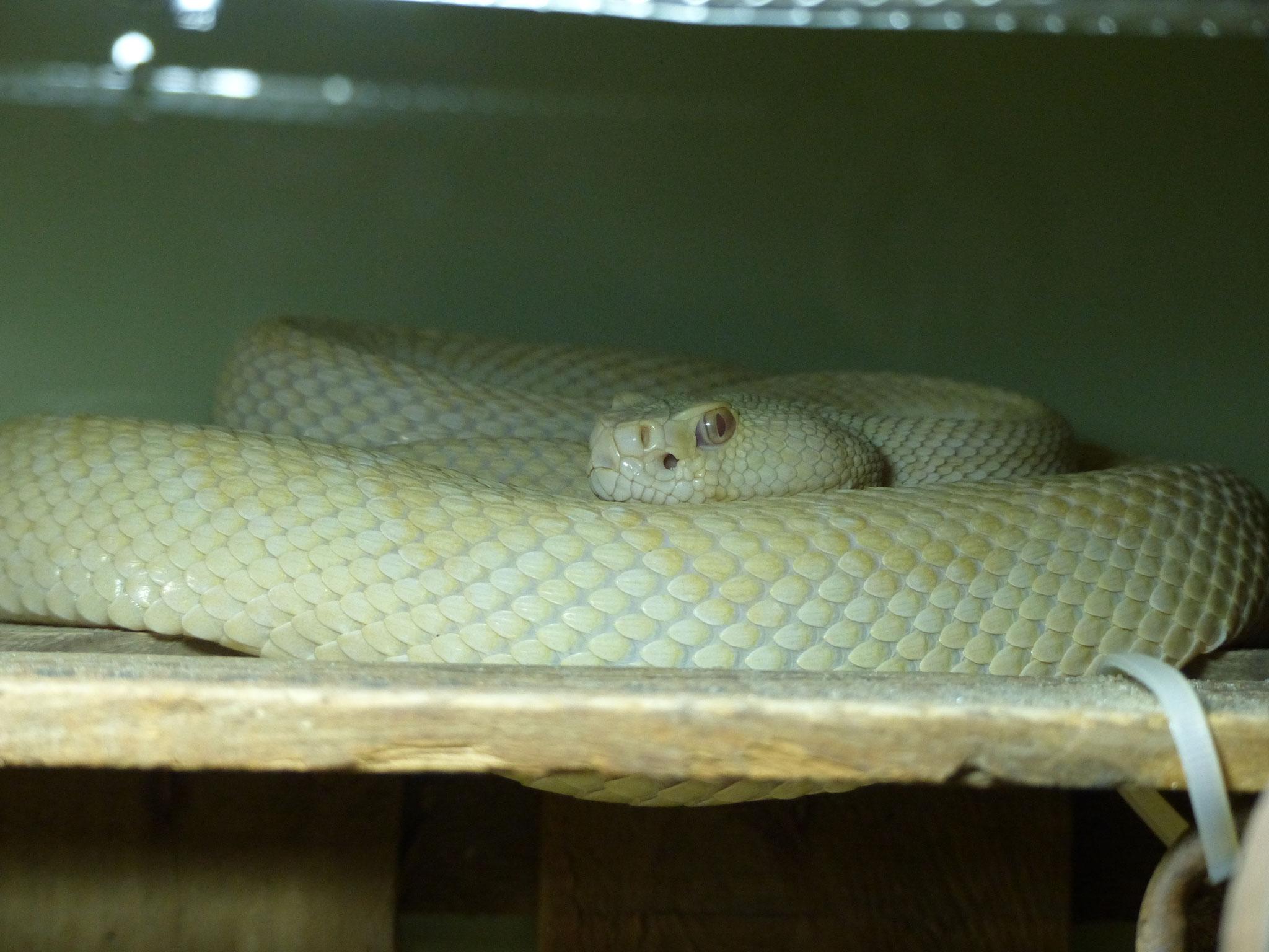 Klapperschlange (Albino)