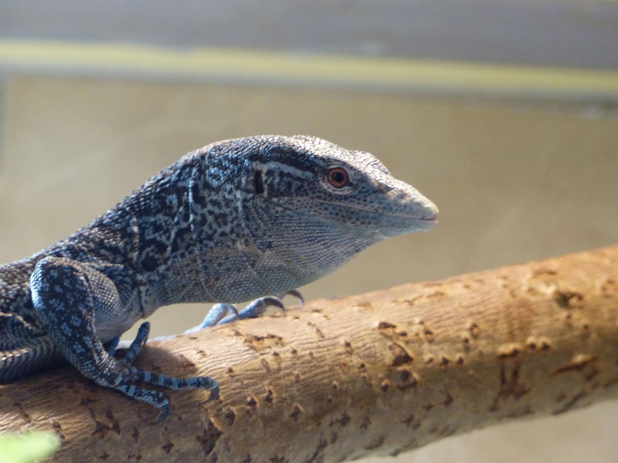 Blauer Baumwaran