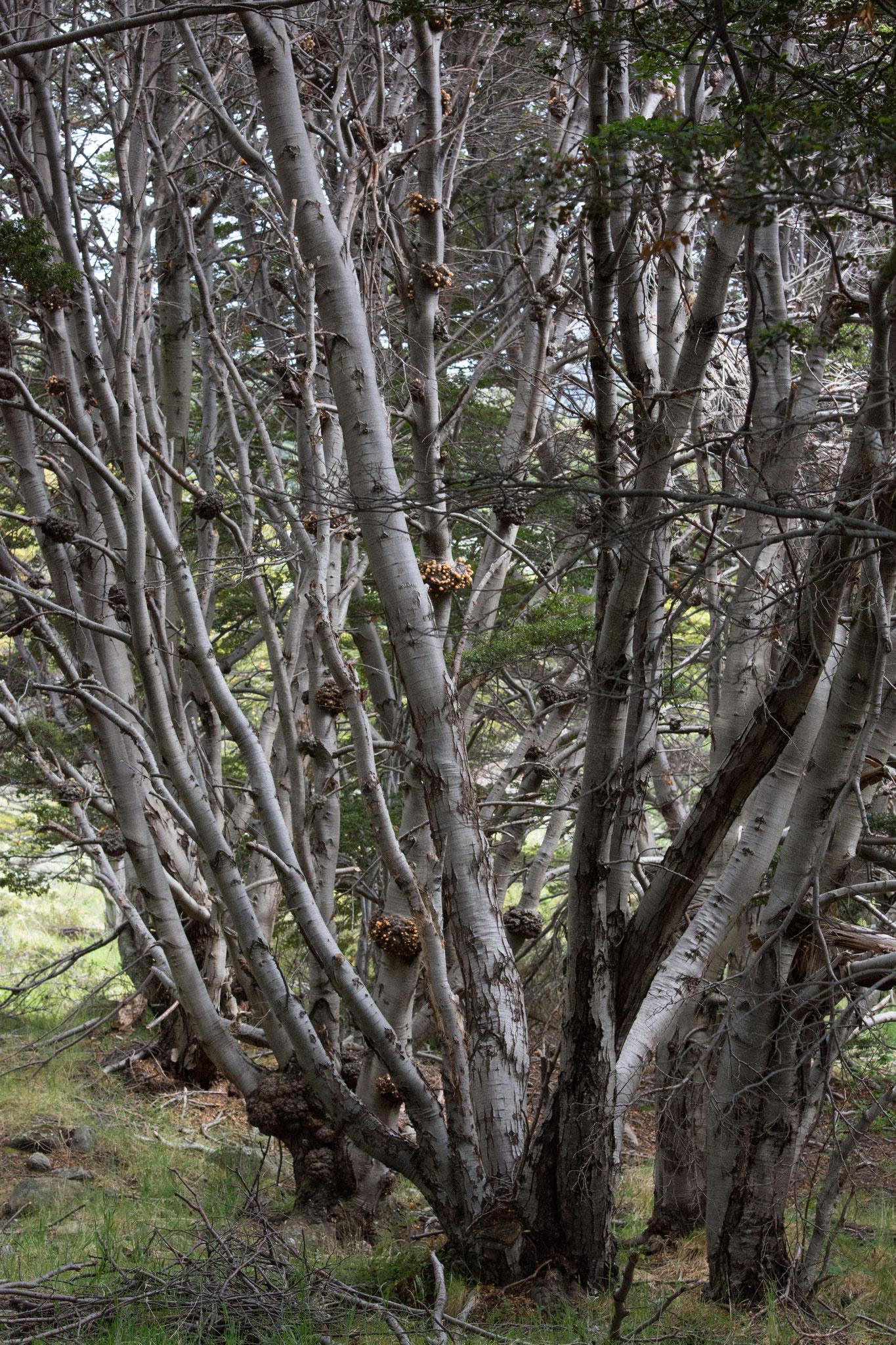 Dihueñes-Cyttaria darwini - gelber Pilz der an den Südbuchen (Nothofagus betuloides) wächst und gegessen werden kann. Schmeckt allerdings nach nichts.