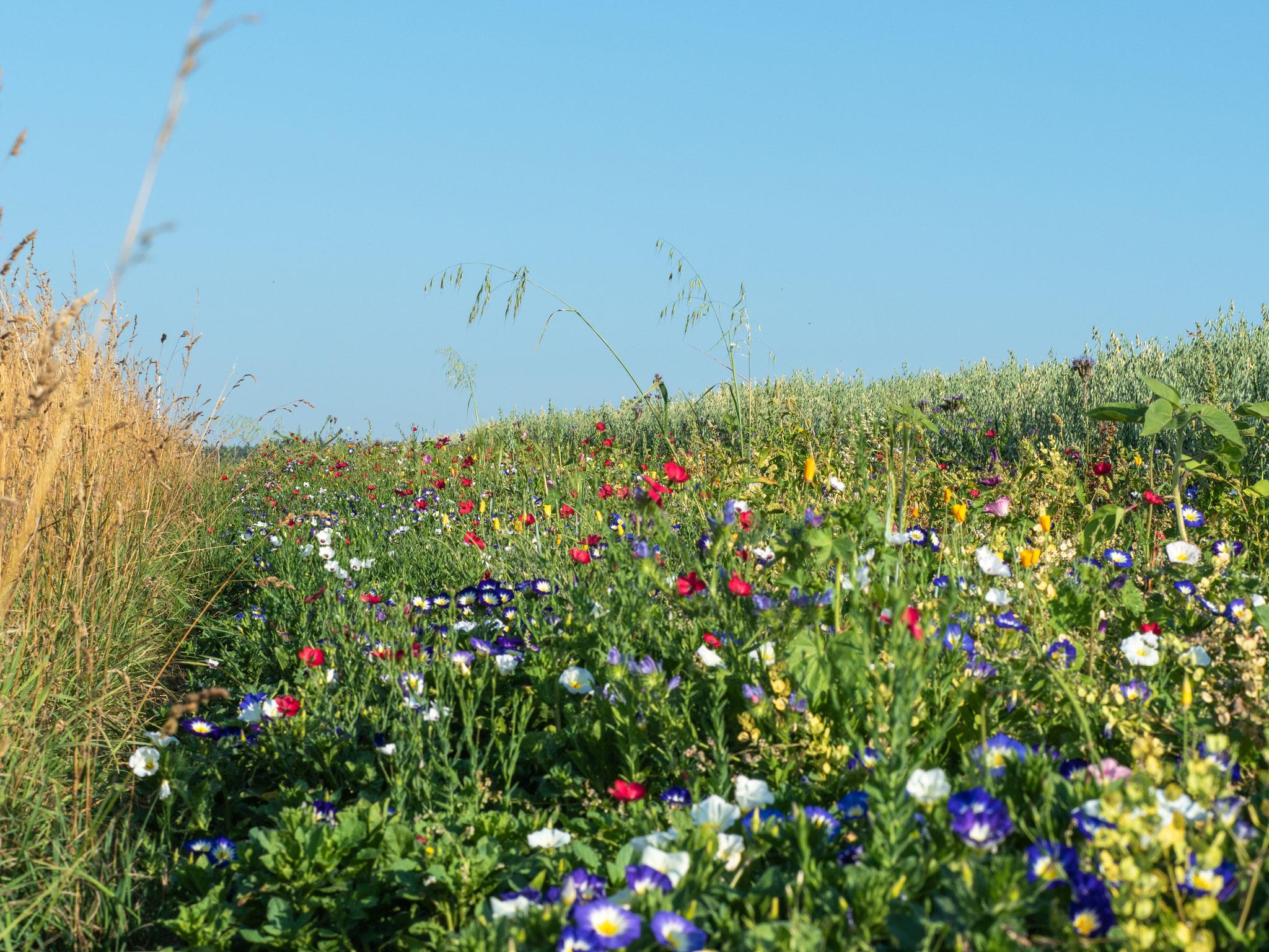 Blühstreifen zwischen den Ackerflächen