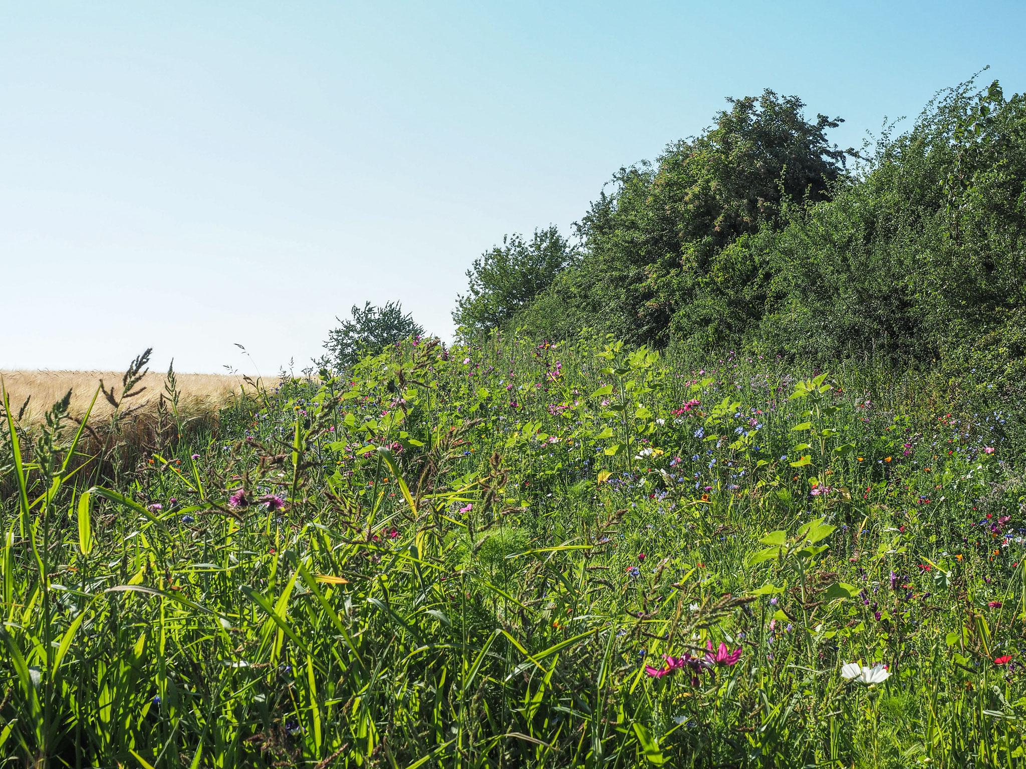 Blühstreifen entlang einer Heckenzone