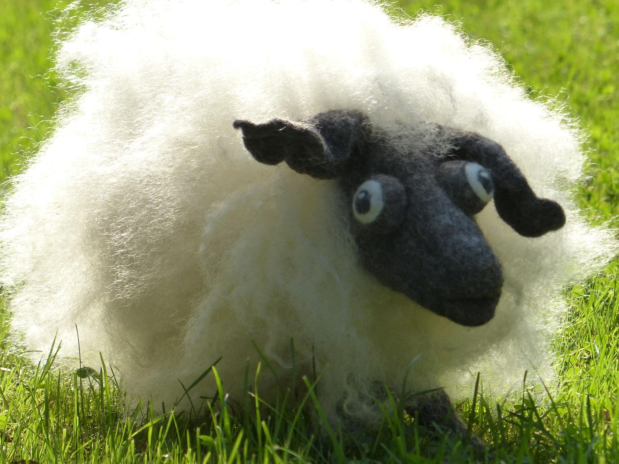 Schaf aus Rohwolle von Walliser Schwarznase und Bergschaf