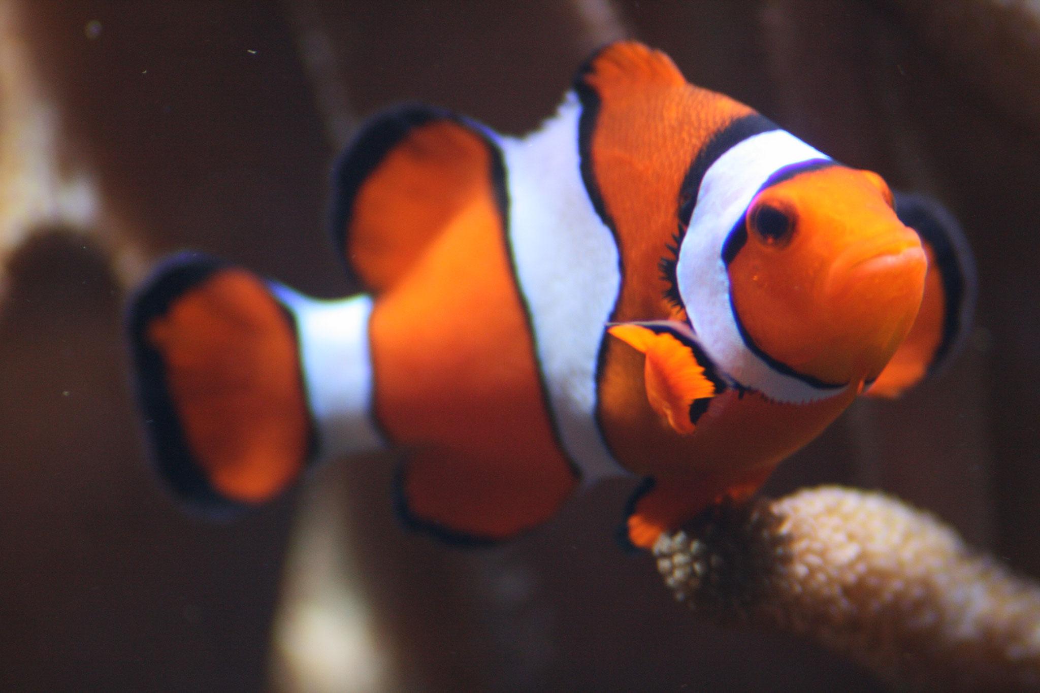 Clownfisch/Anemomenfisch, Aufnahme: Steve Nickolaus