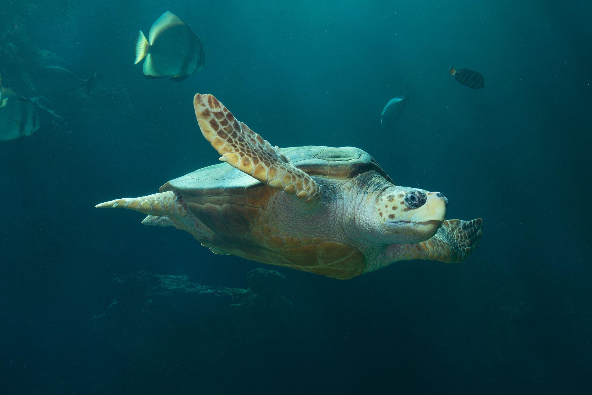 Meeresschildkröte im 350.000 Liter Aquarium (Foto: Johannes-Maria Schlorke / Deutsches Meeresmuseum)
