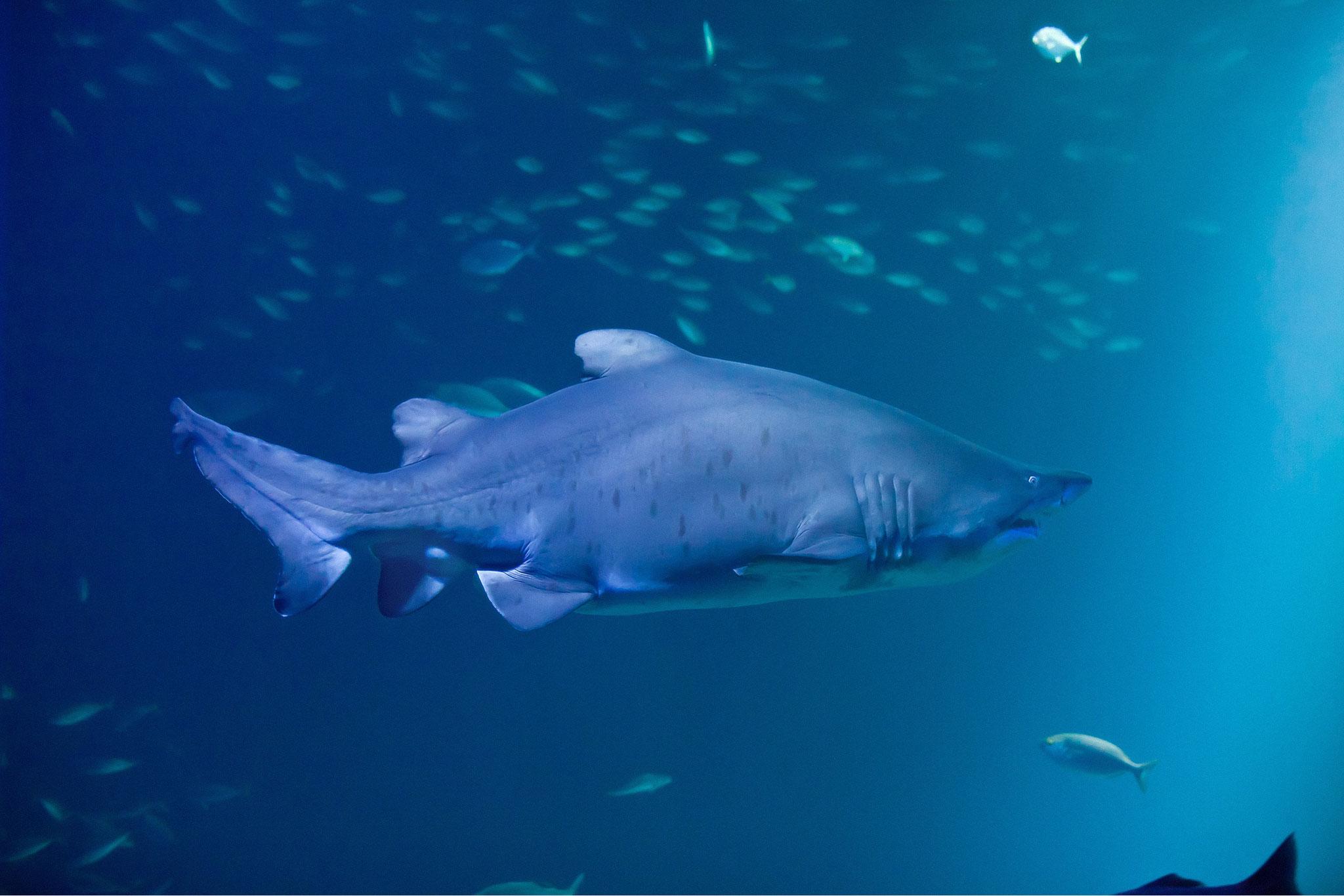 Ein 2,7m langer Sandtigerhai (Foto: Johannes-Maria Schlorke / OZEANEUM Stralsund)