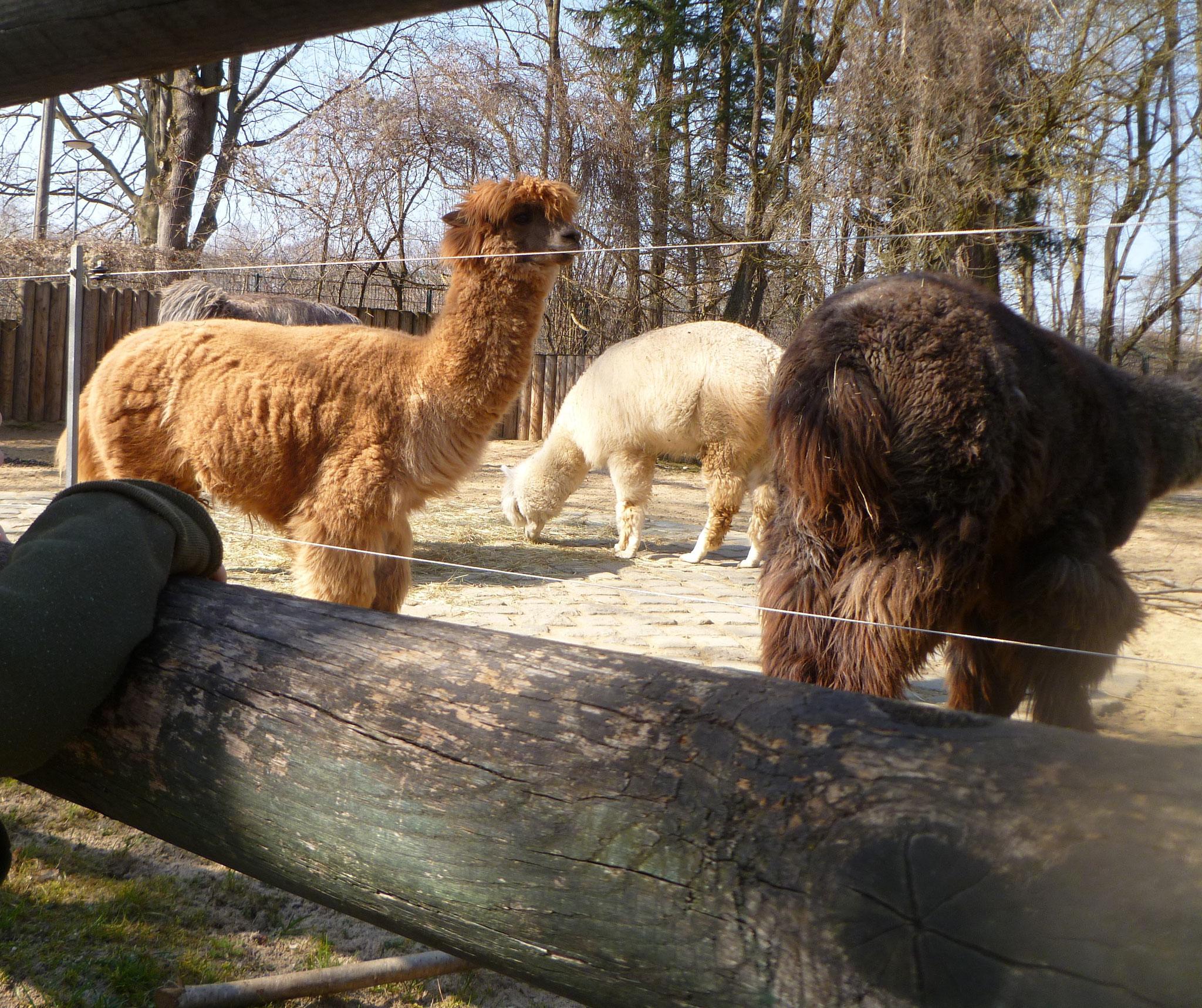 Lamas auf dem Außengelände