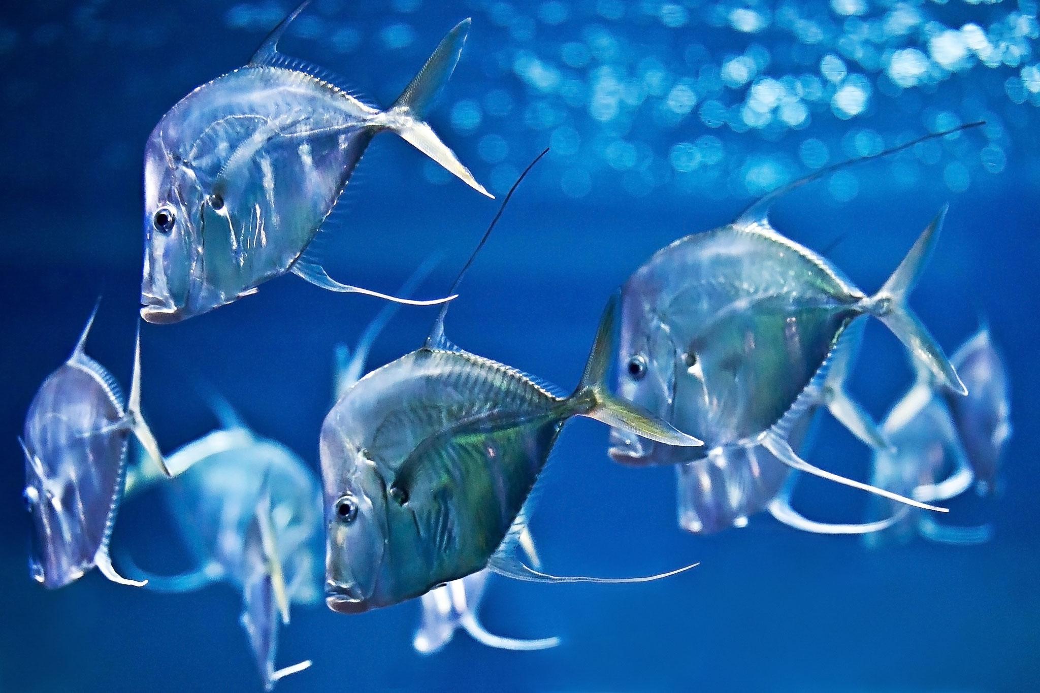 Bodenguckerfische, Aufnahme: Frederic Schweizer