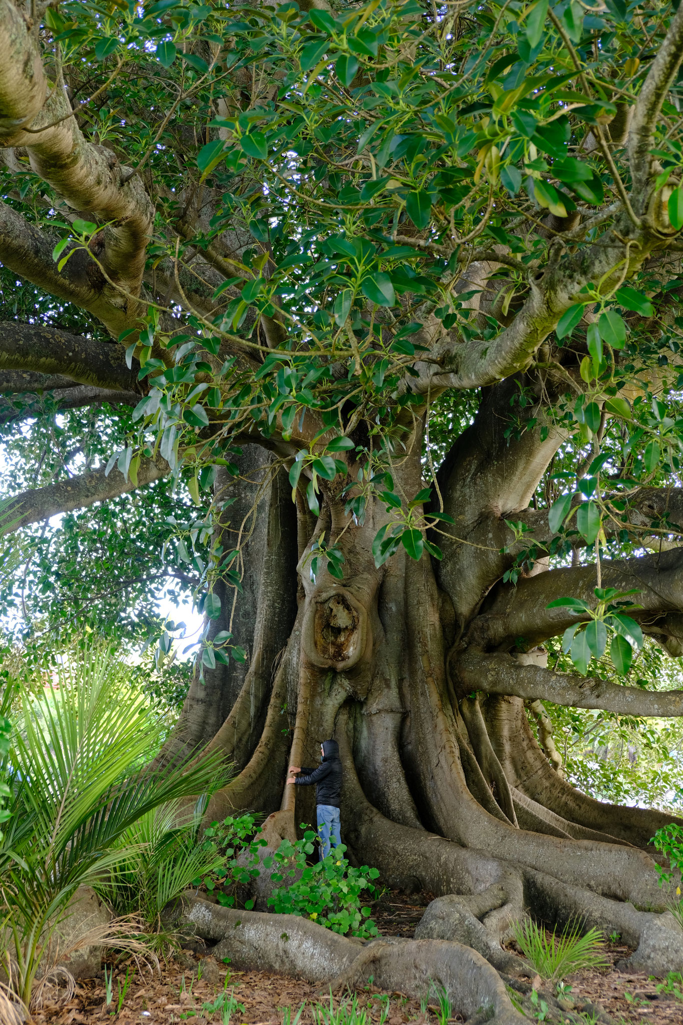 Alter Feigenbaum in Pahi
