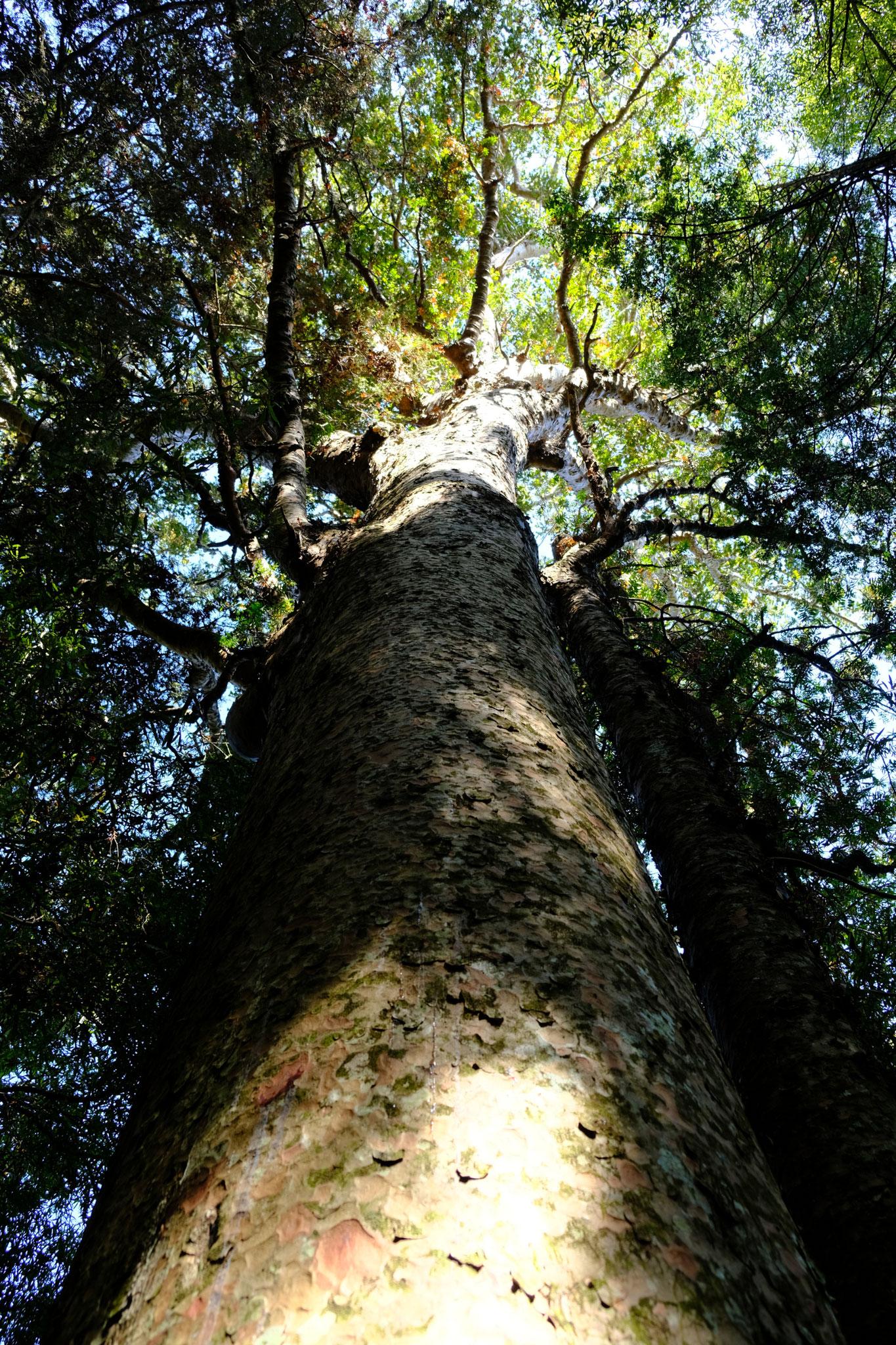 Whangarei Kauri Walk