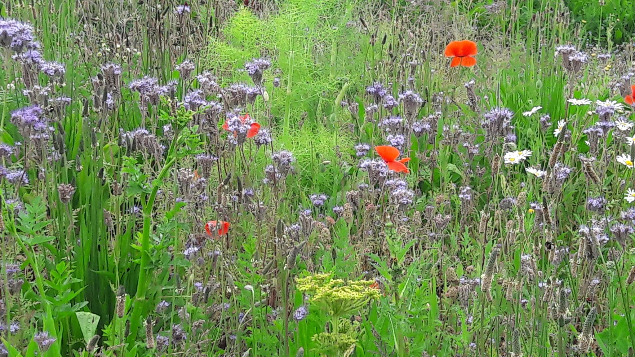 Wiesen - für Insektenvielfalt