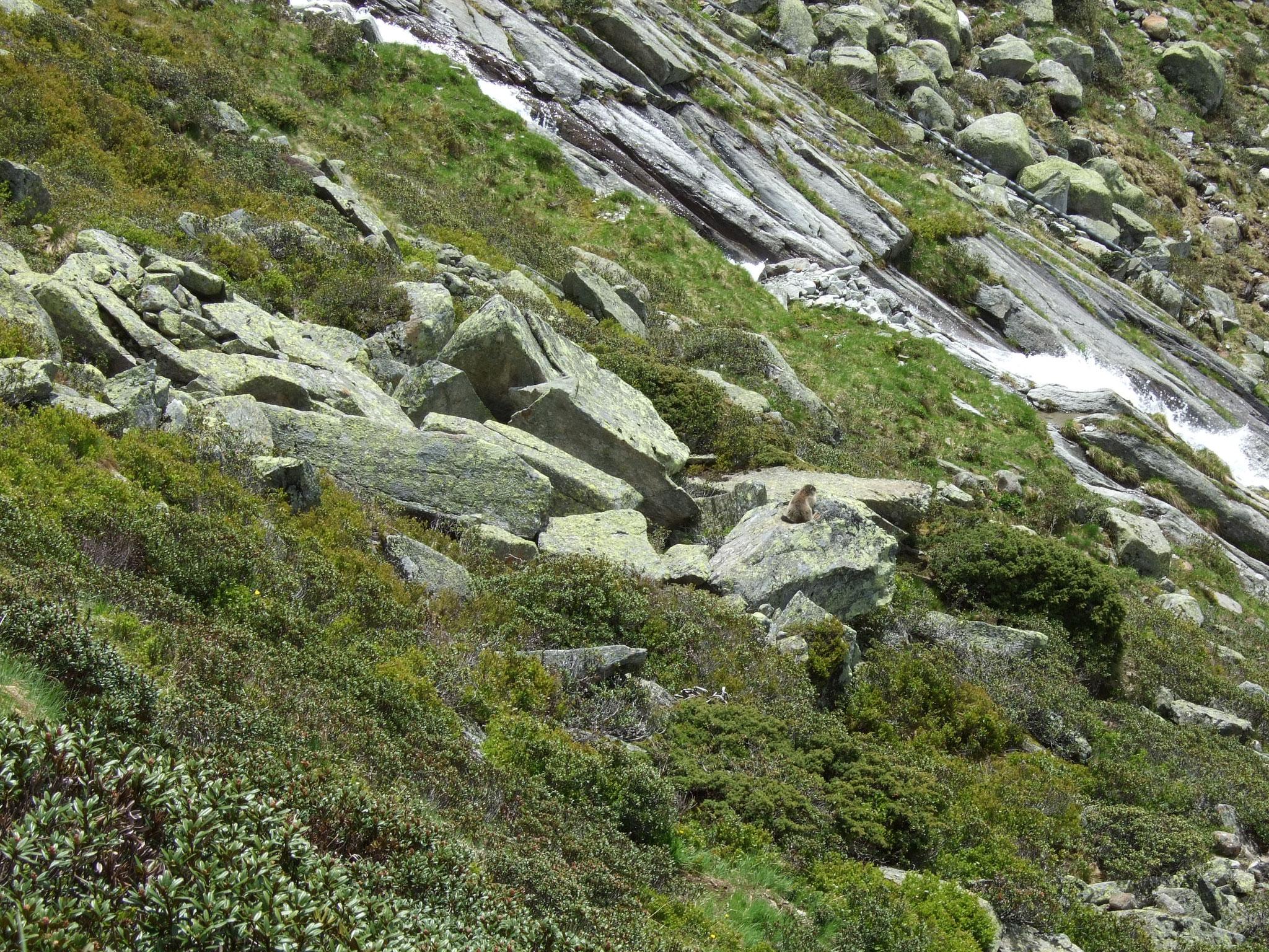 Murmeltier auf dem Stein