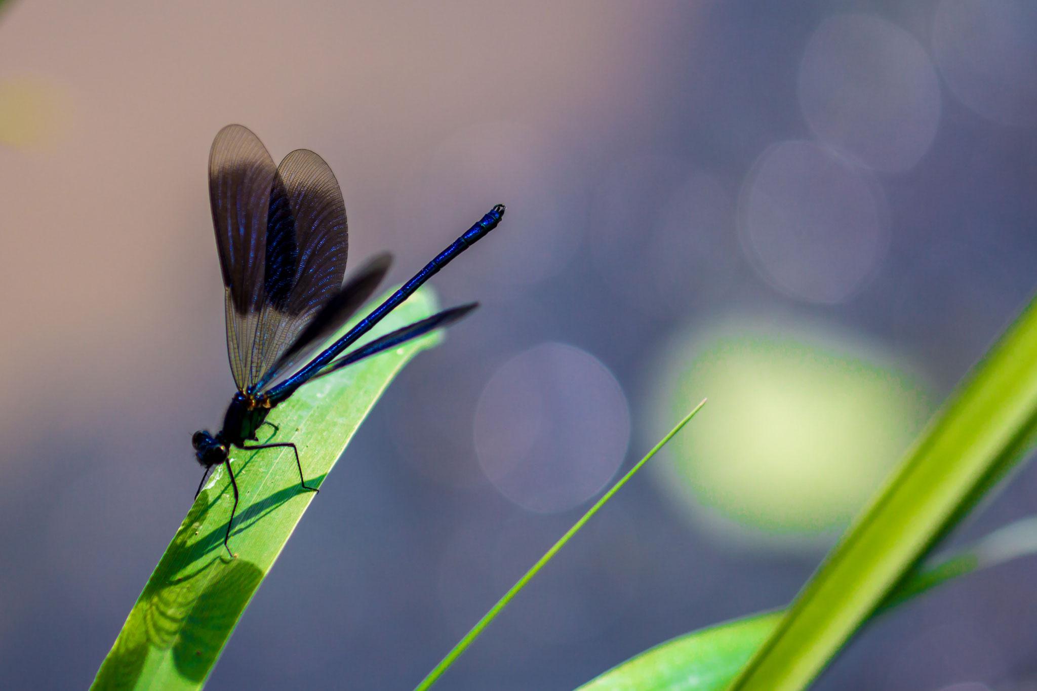 31_Libelle im Naturschutzgebiet Mönchbruch.