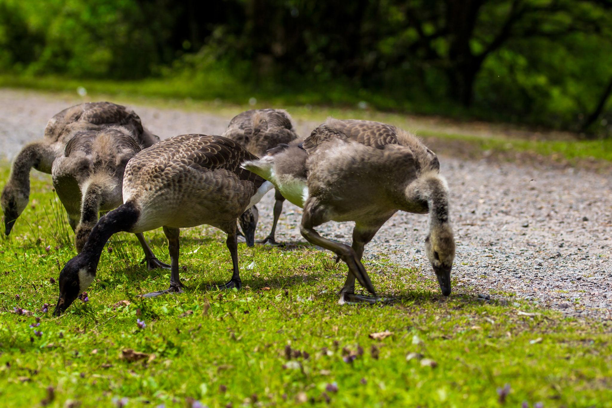 02_Kanadische Wildgänse (Canadian Geese) im Naturschutzgebiet Mönchbruch