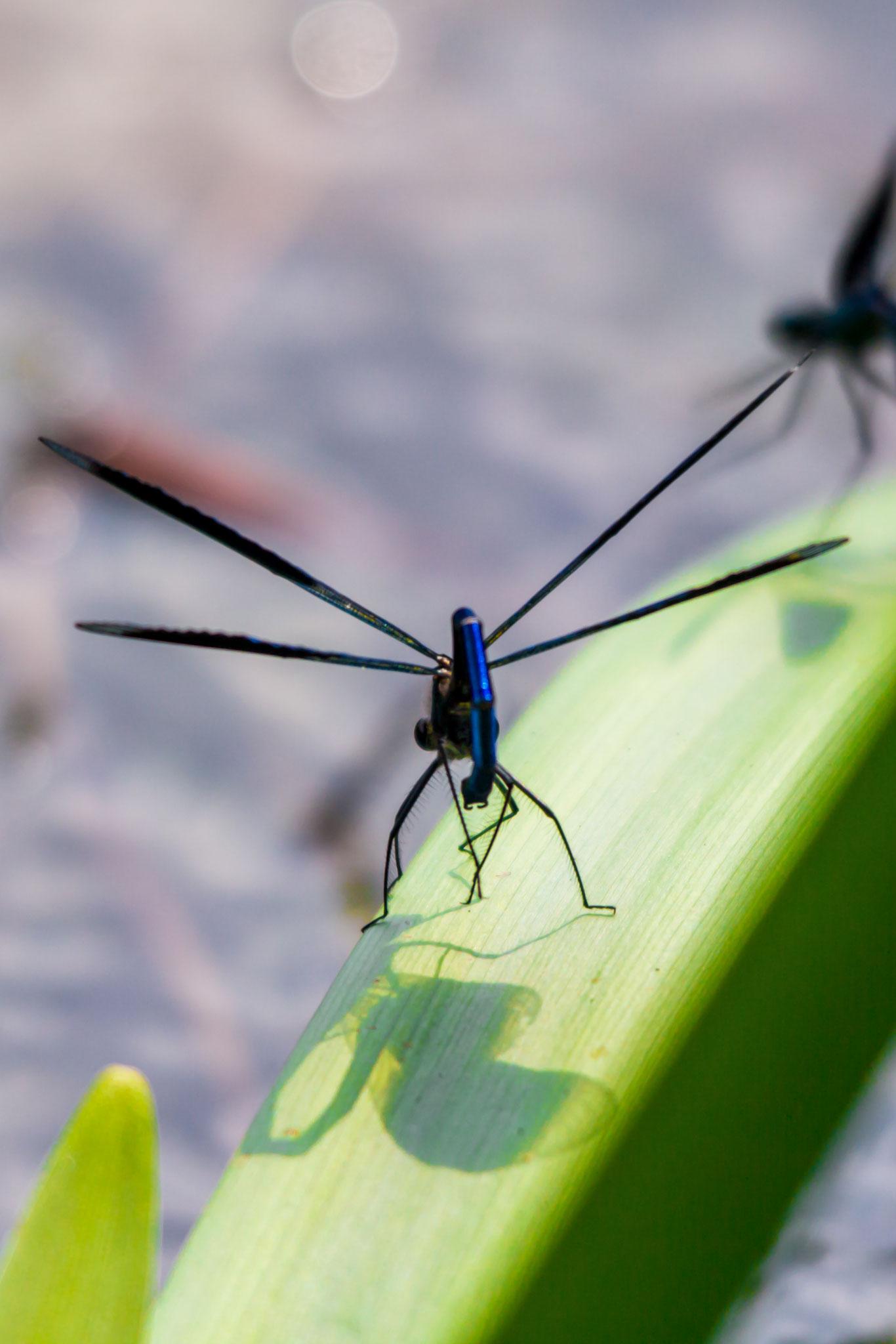 33_Libelle im Naturschutzgebiet Mönchbruch.