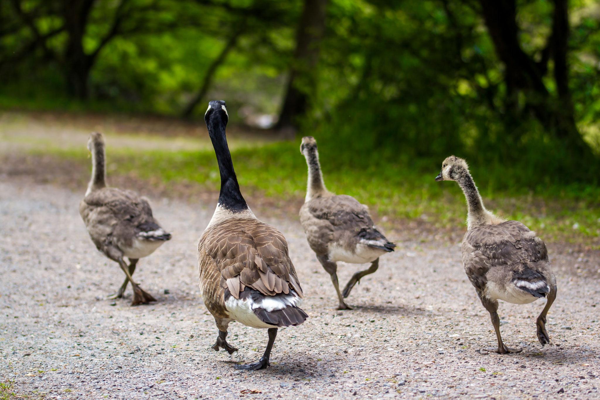 03_Kanadische Wildgänse (Canadian Geese) Naturschutzgebiet Mönchbruch
