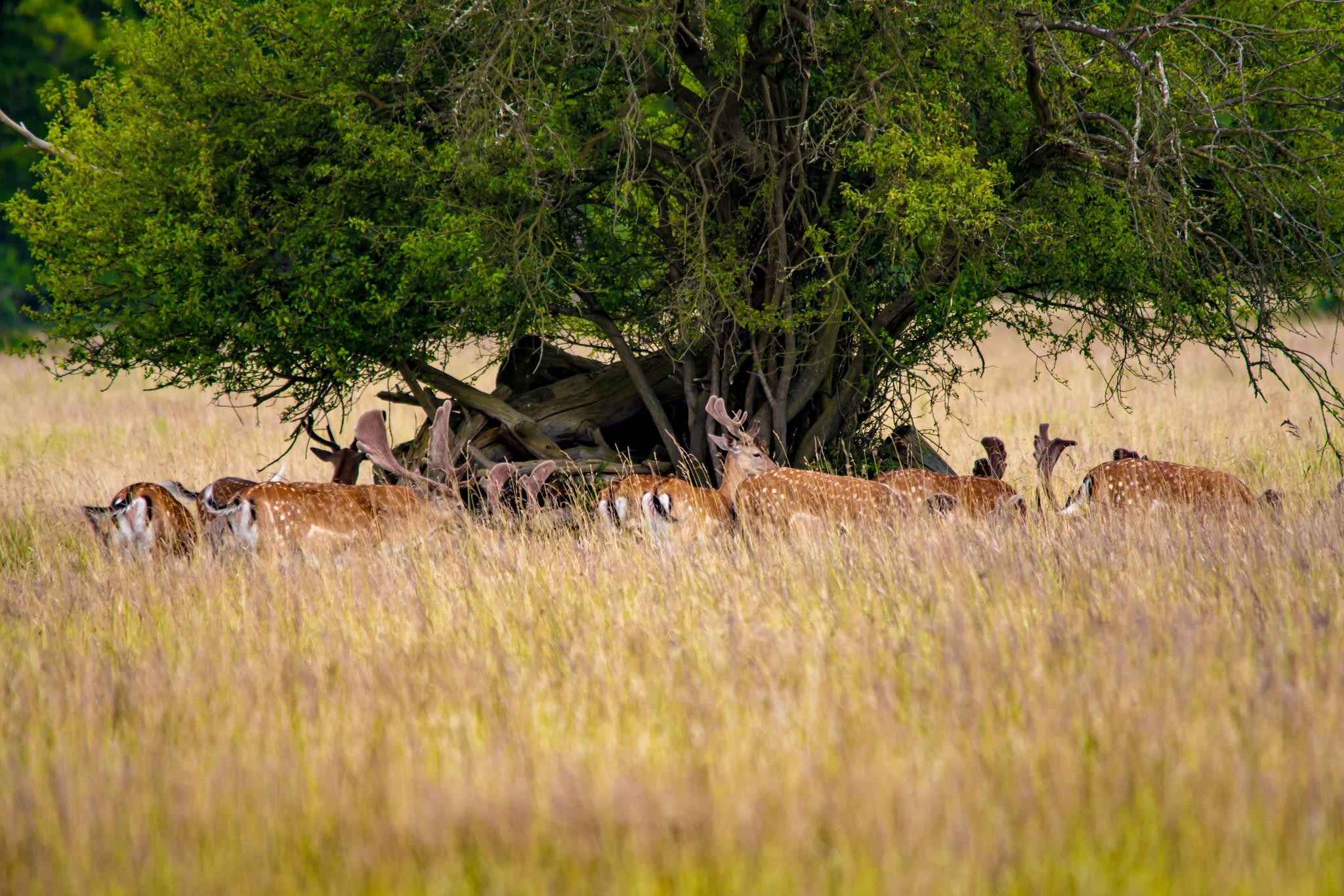 07_Rehböcke im Naturschutzgebiet Mönchbruch.