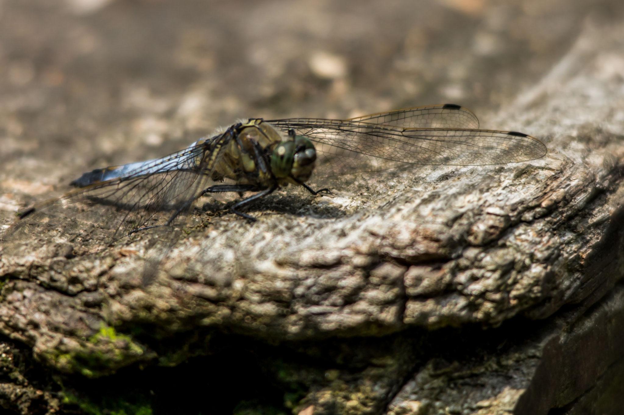 24_Libelle im Naturschutzgebiet Mönchbruch.