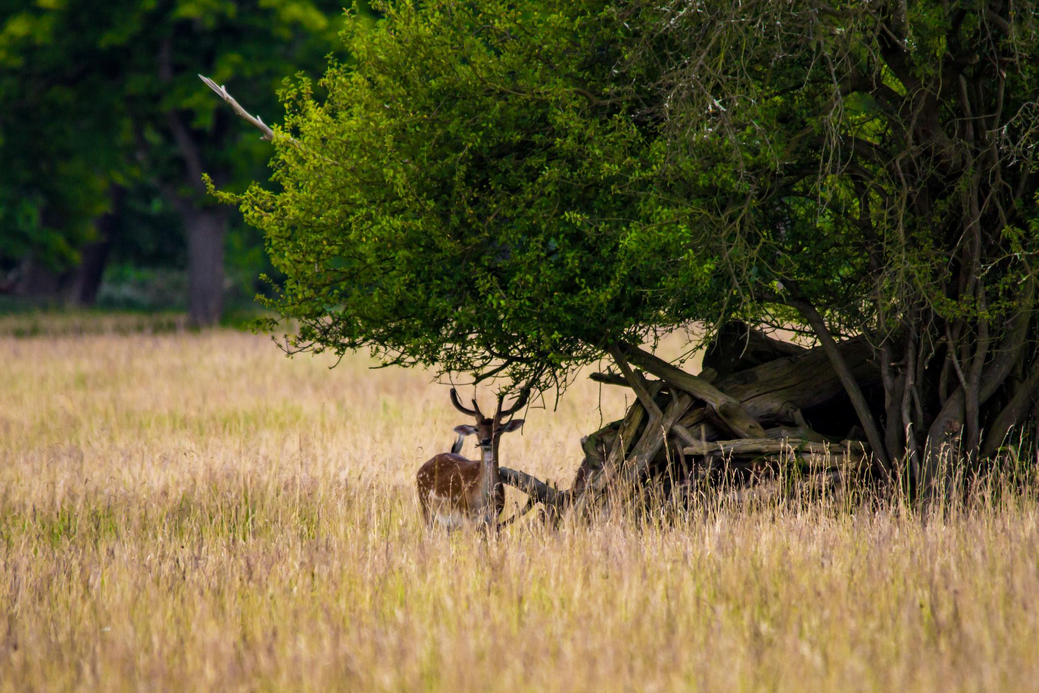 08_Rehböcke im Naturschutzgebiet Mönchbruch.