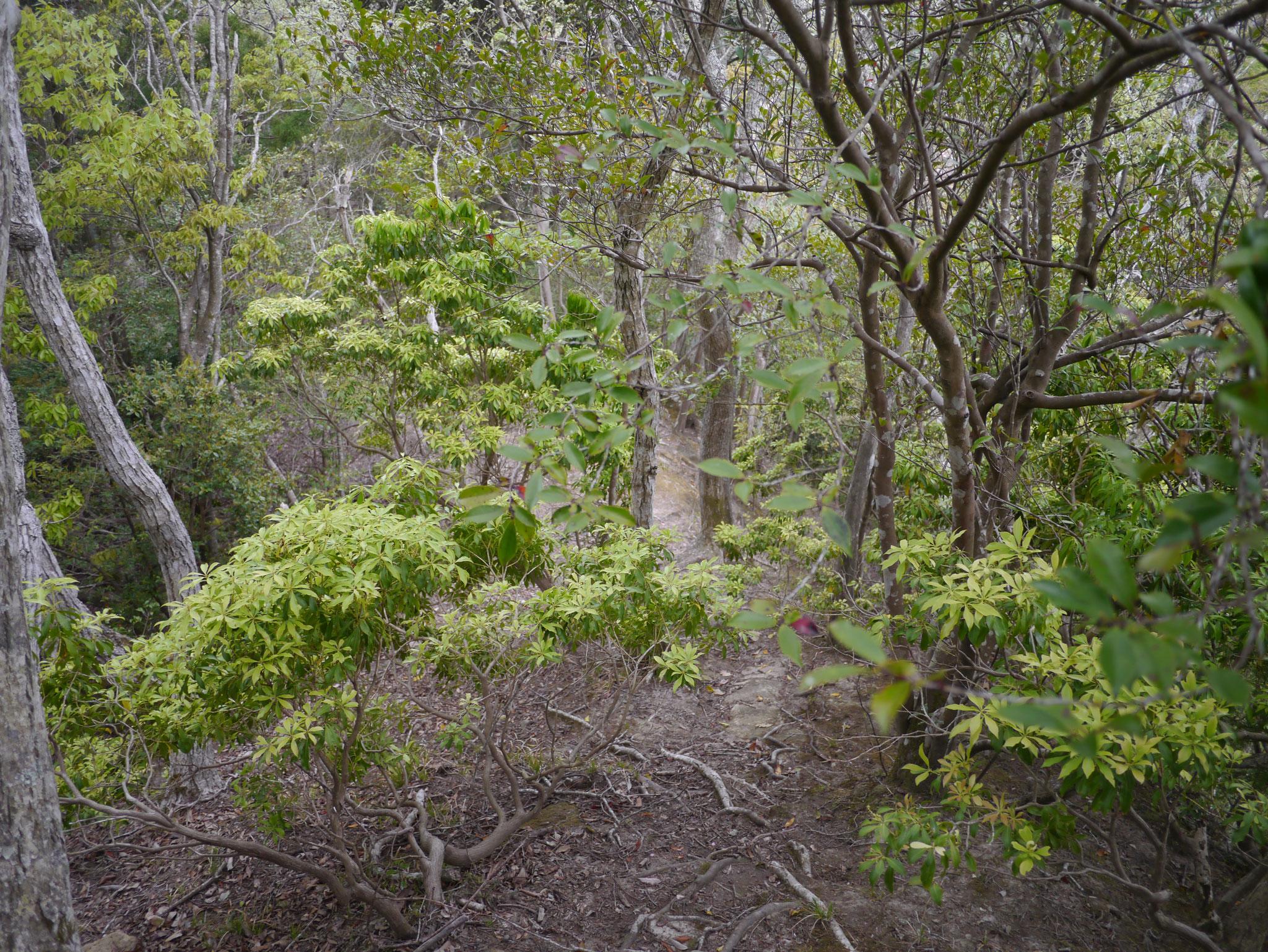 アセビの森