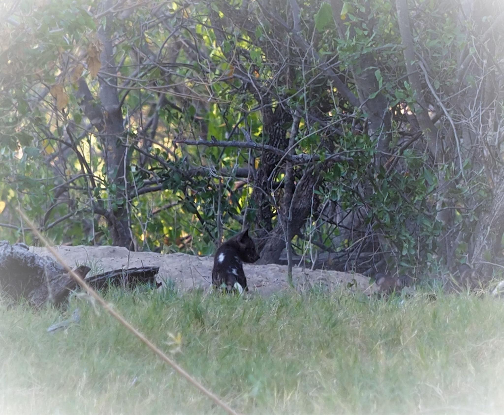 selten zu sehen, junge Wildhunde