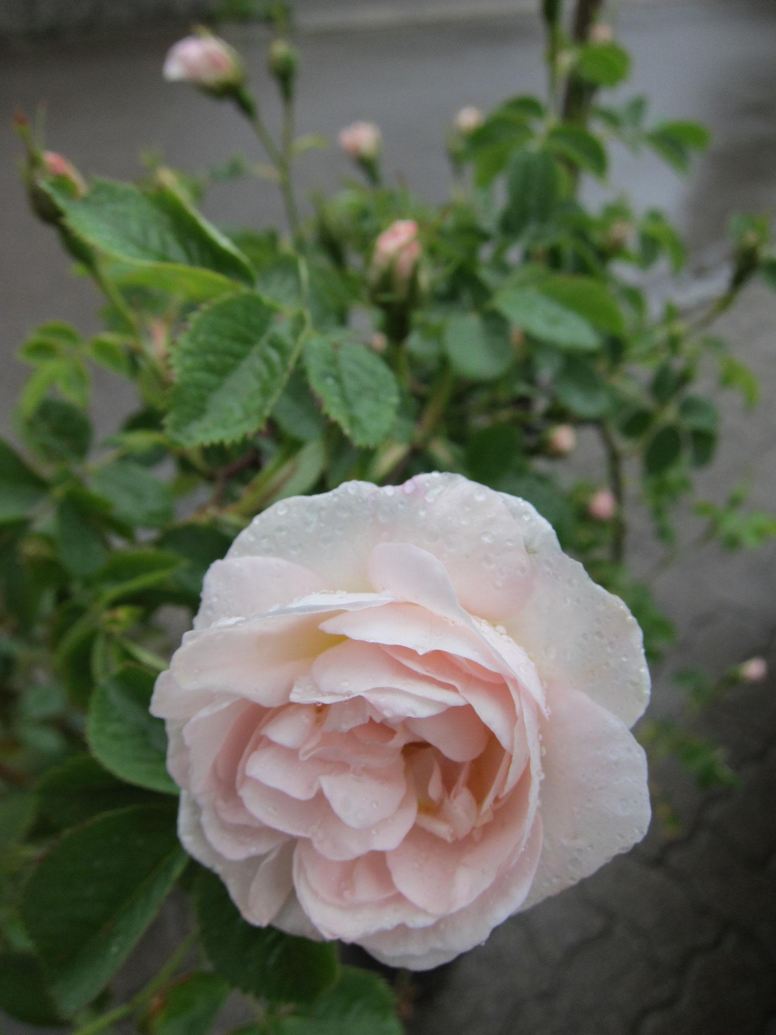 Königin Hortense - Historische Strauchrose - 150cm
