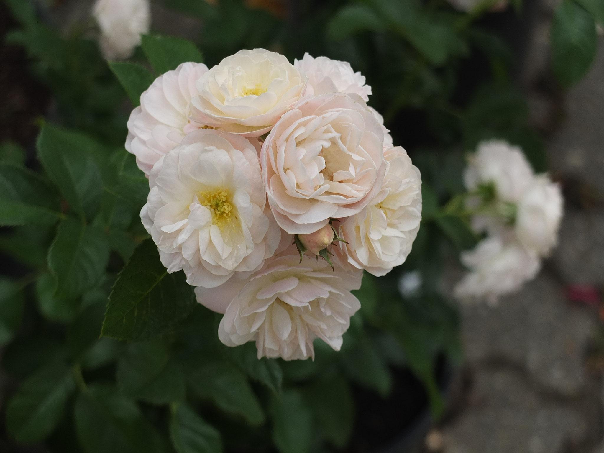 Bouquet Parfait - Strauchrose - 150cm
