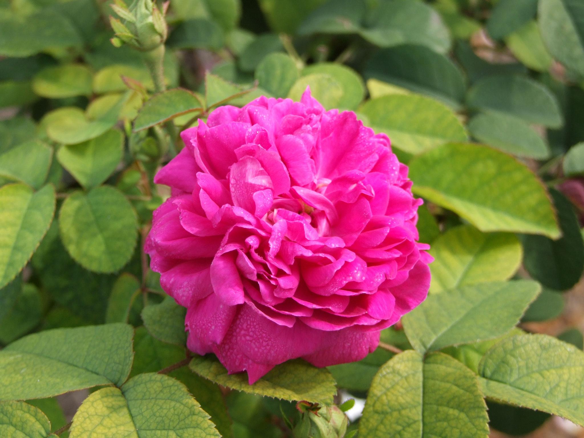 Rose de Resht - 120cm
