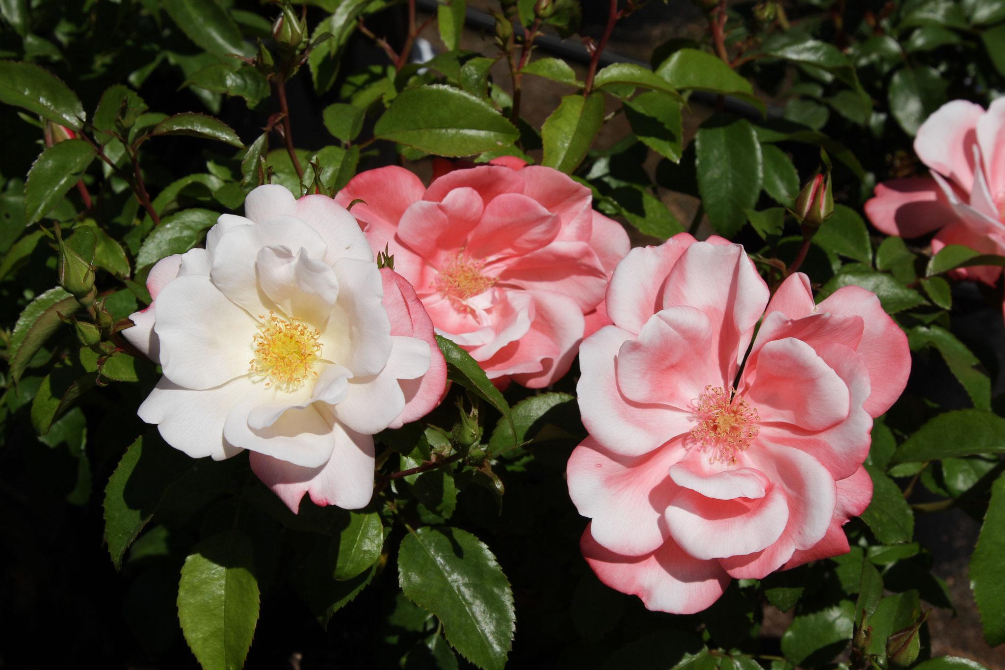Roseromantic - Beetrose - 80cm