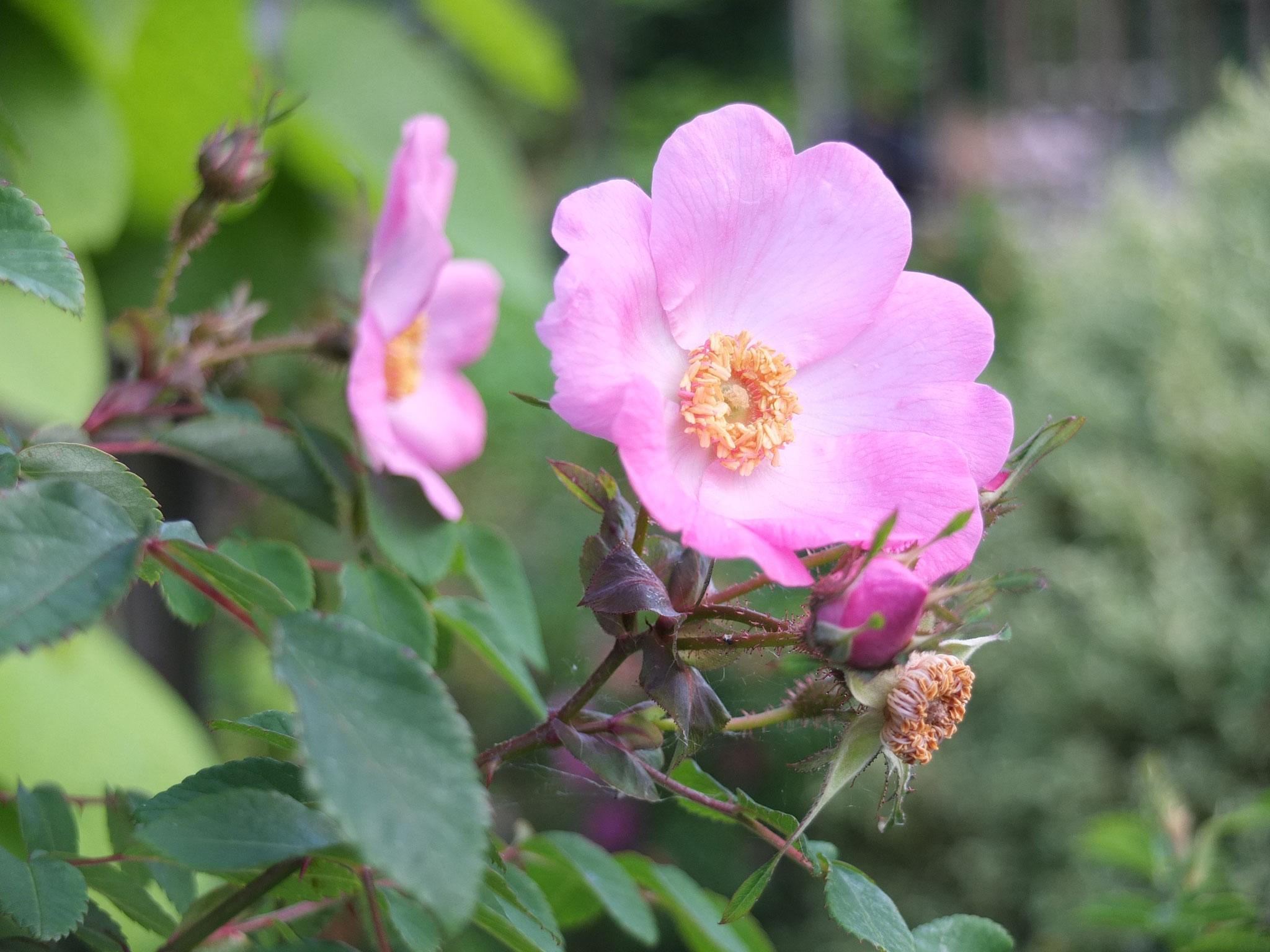 Rosa davidii Fenjia - 2m