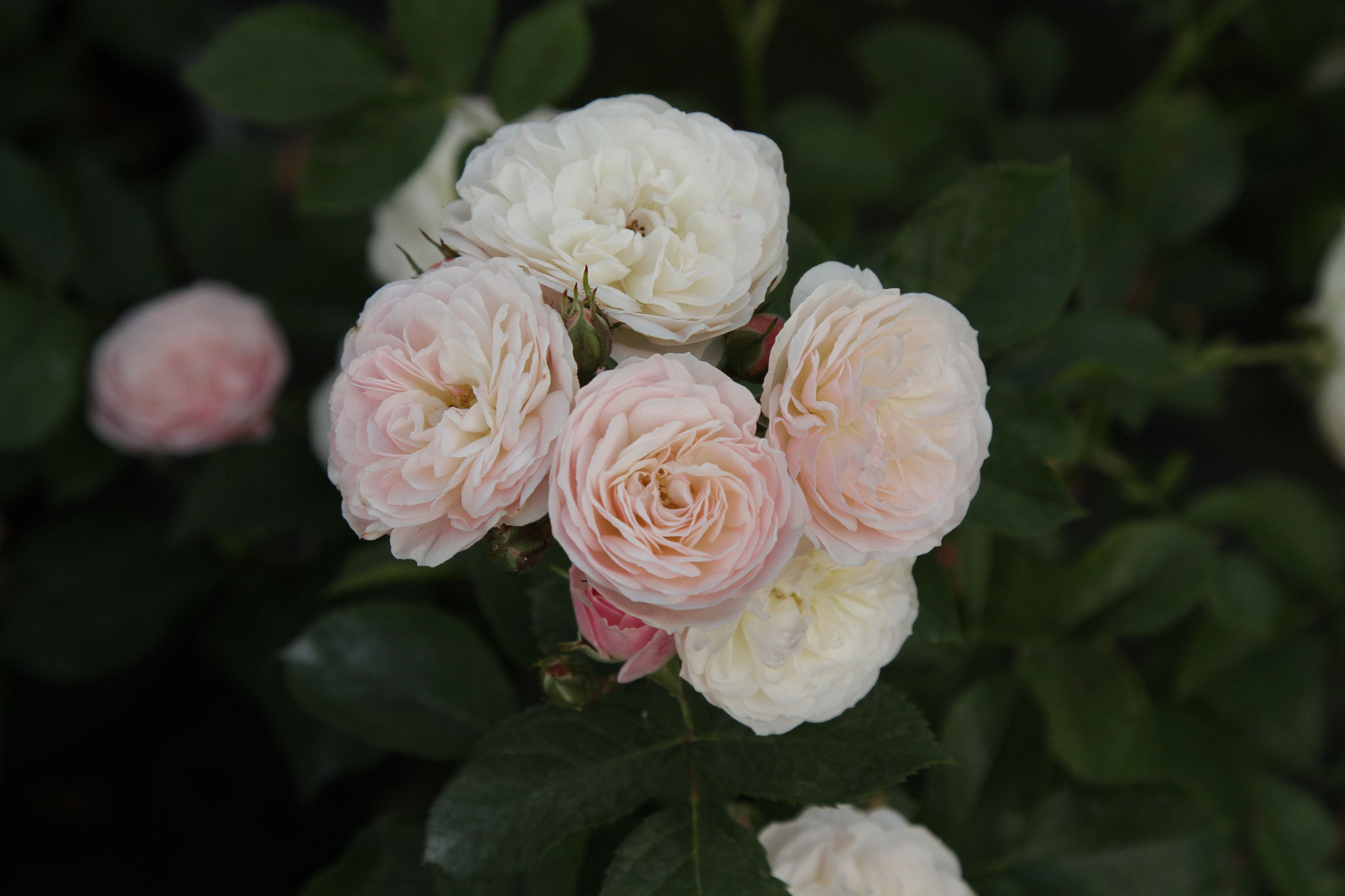 Bouquet Parfait - Strauchrose - 120cm
