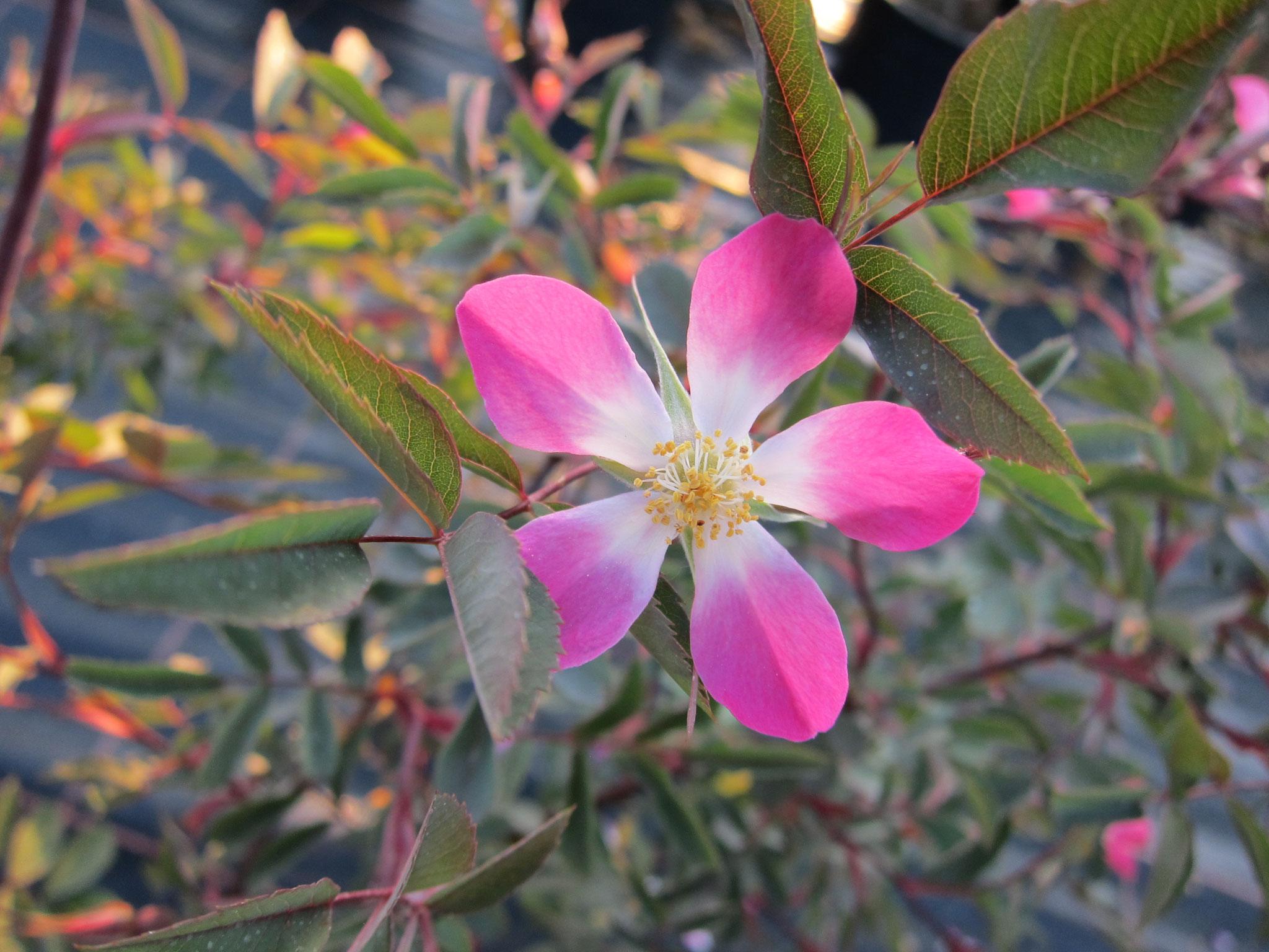 Rosa glauca - 2m