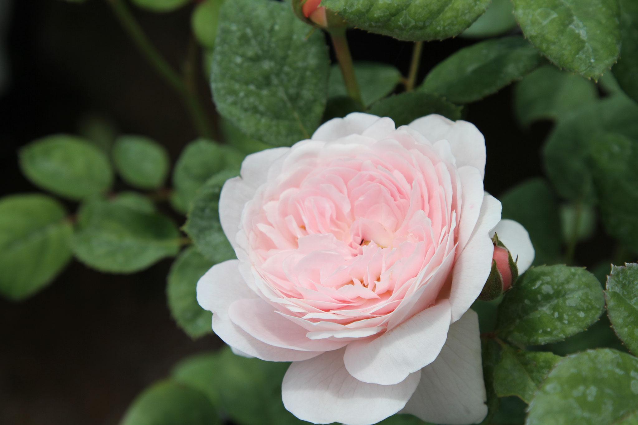 Generous Gardener - Englische Strauch /Kletterrose - 150cm bis 3m