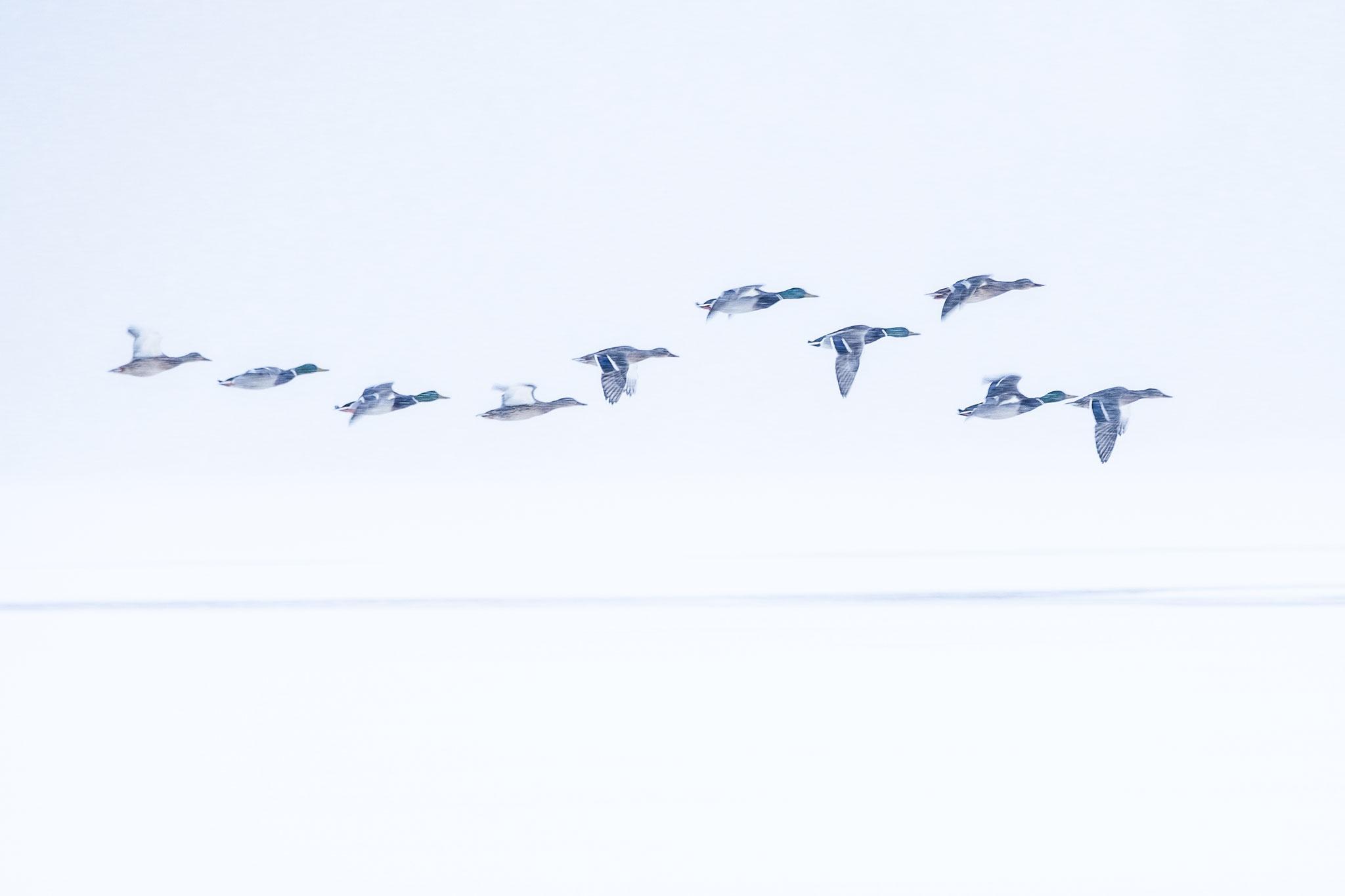 """Series """"Birds in snowstorm"""" #1"""