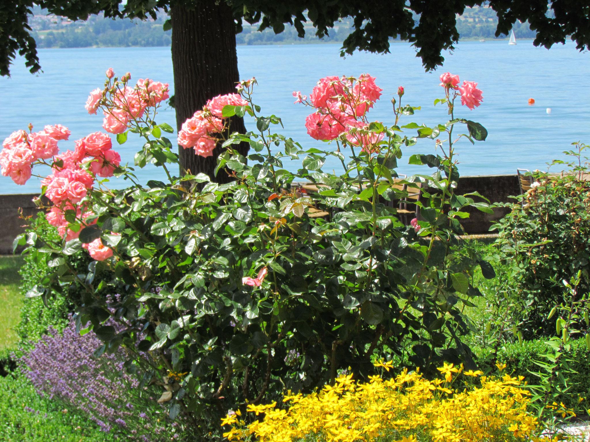 Rosenblüte im Barockgarten