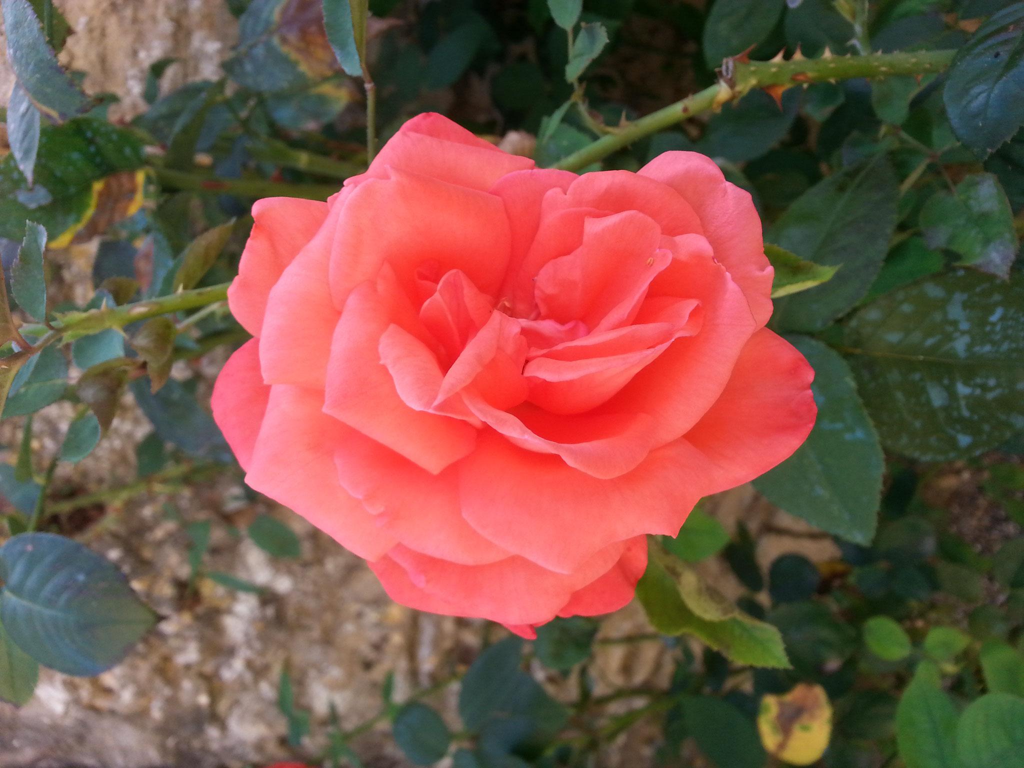 Ô rose !