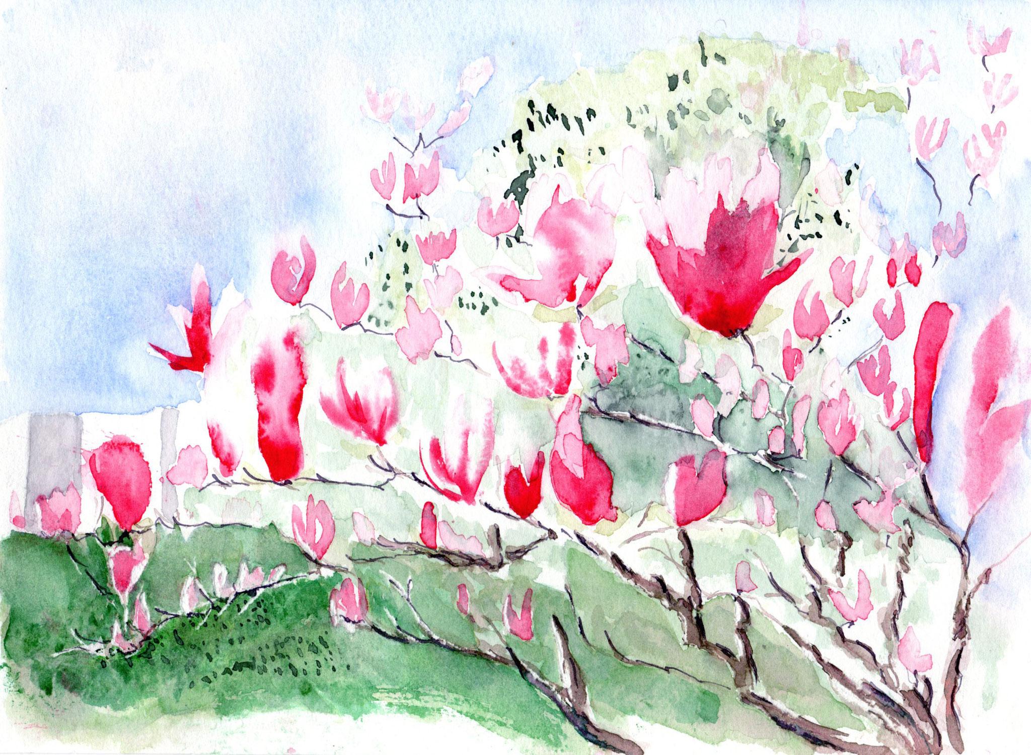 Le magnolia tulipier dans le parc de la Reynerie