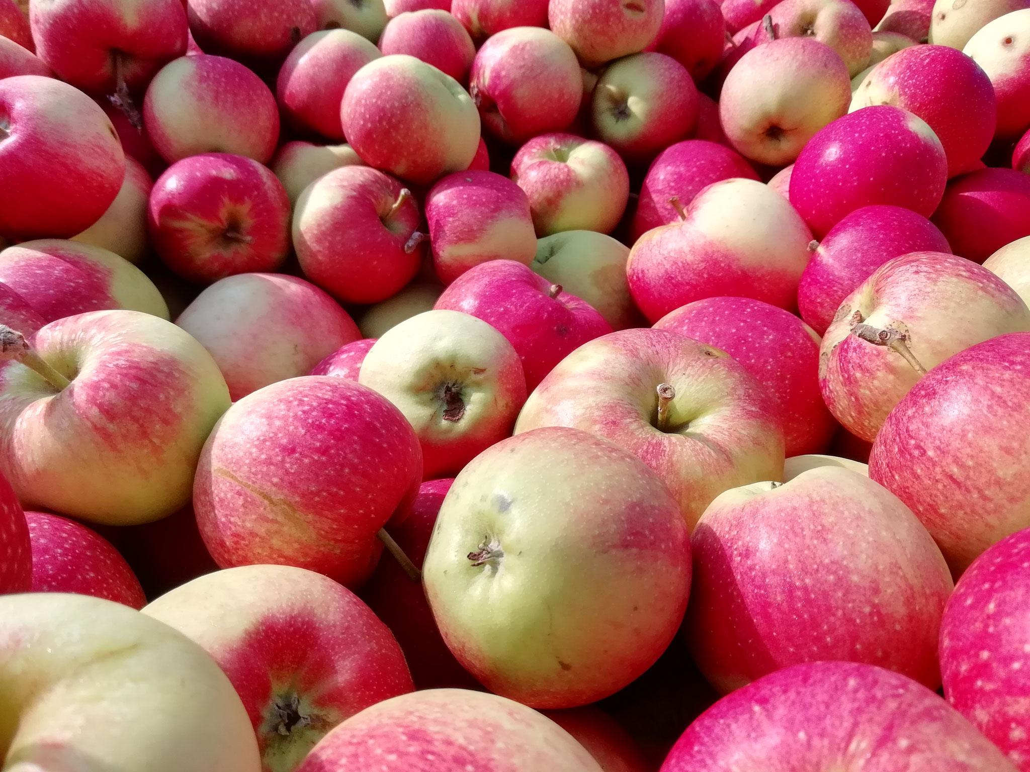 Santana Äpfel direkt bei der Abholung im Alten Land. Lecker!