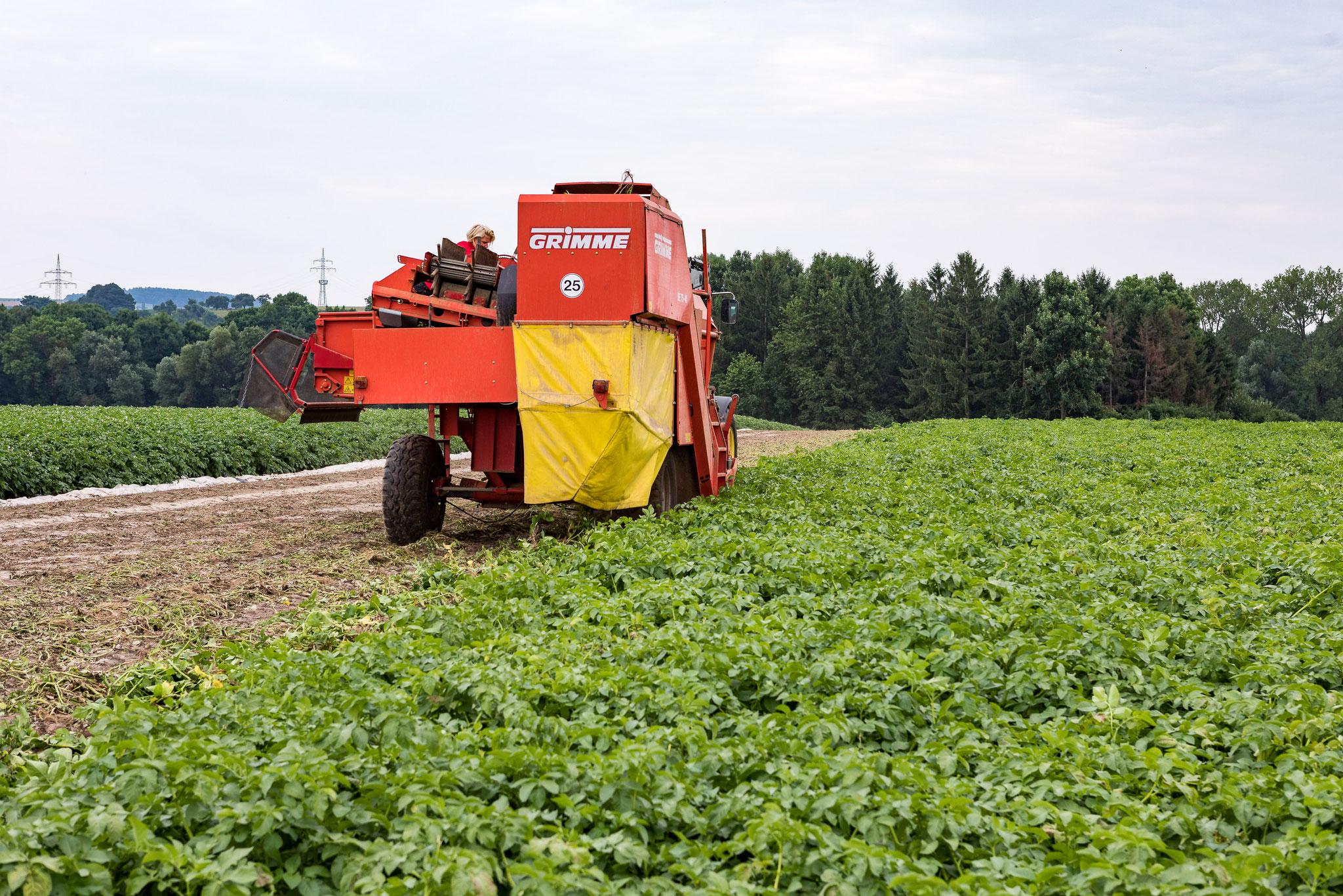 Erde, Steine und das Kartoffelkraut fallen hinten aus dem Kartoffelroder wieder auf das Feld.