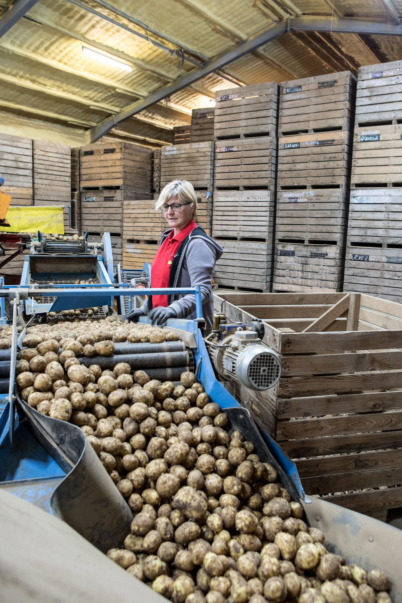 Hier werden sie ein zweites Mal von Landwirtin Marianne Neutze sortiert.
