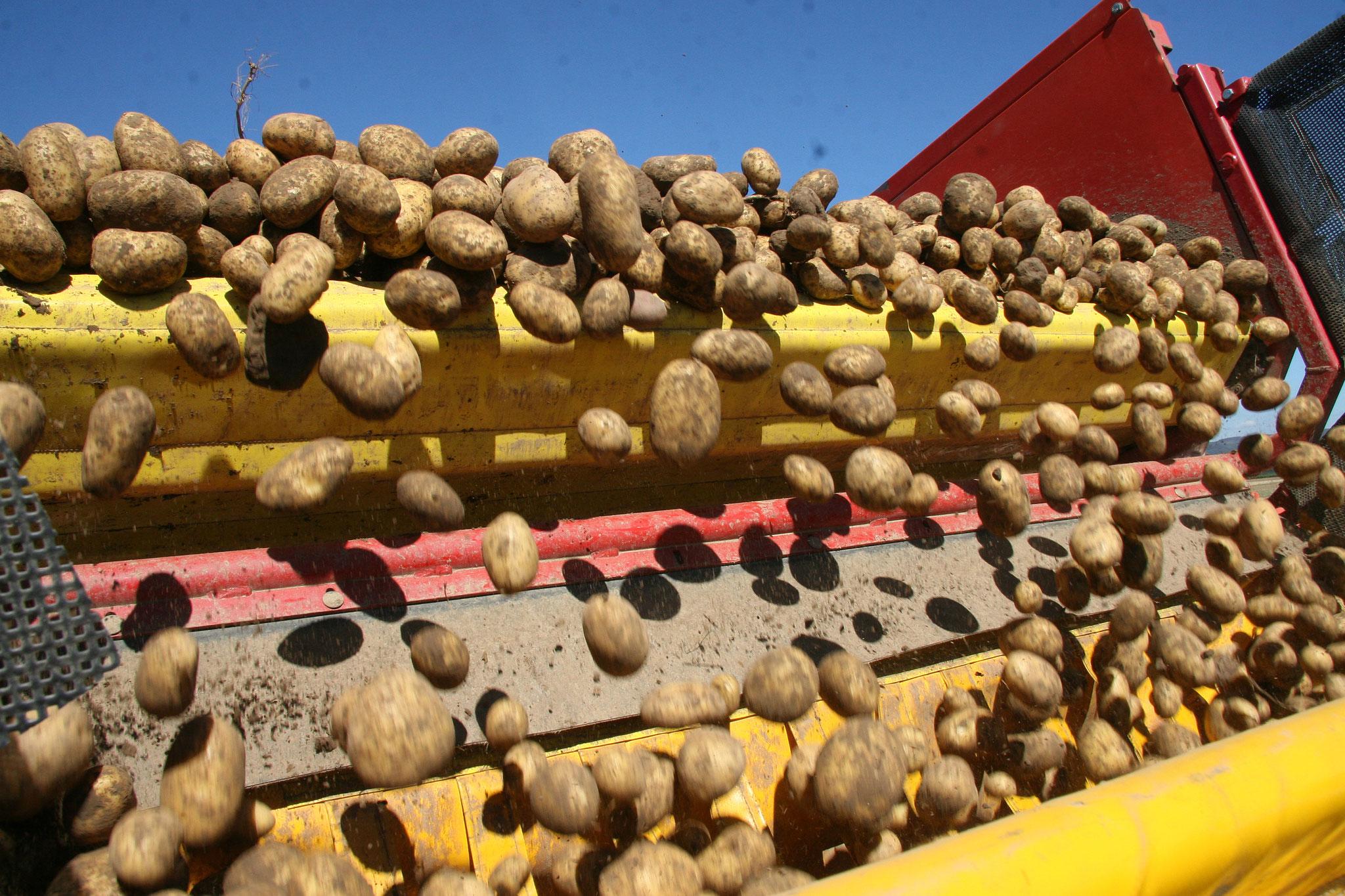 """Die """"vorsortierten"""" Kartoffeln fallen aus dem Bunker des Kartoffelroders..."""