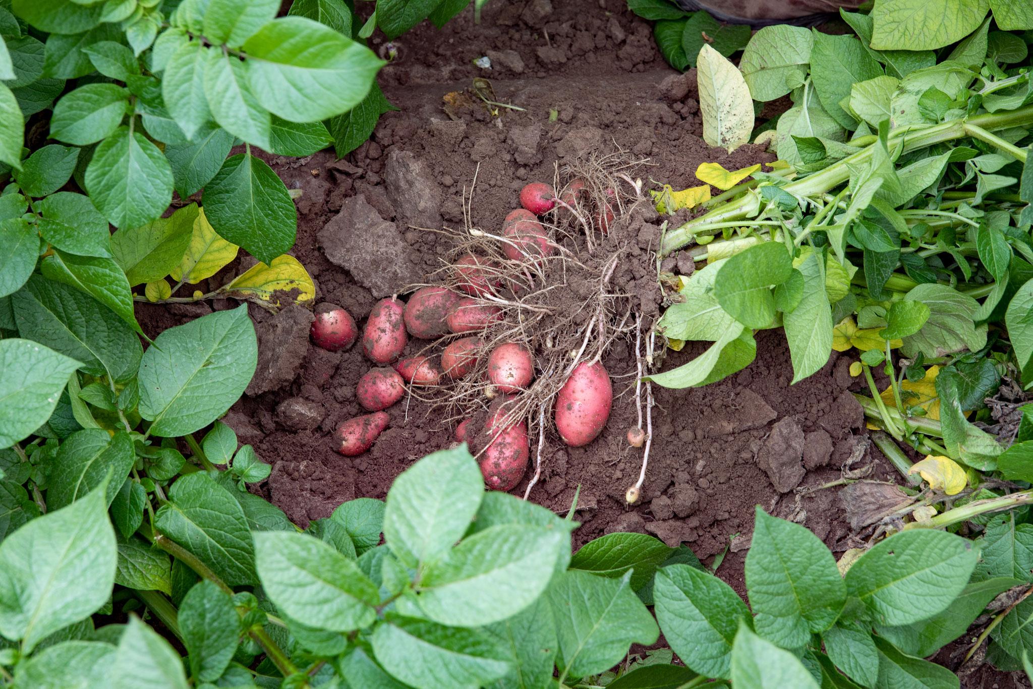 Hier wird die Kartoffelsorte Laura kontrolliert ob sie schon groß genug zum Ernten ist.