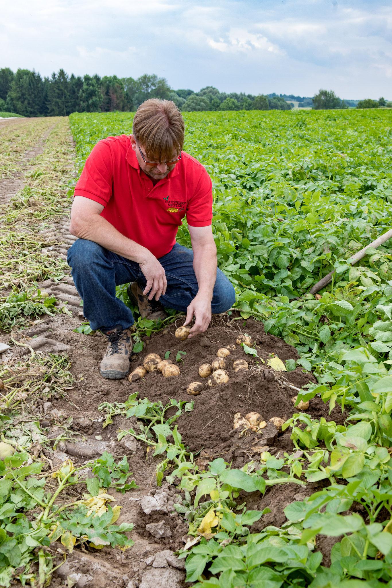 Landwirt Hartmut Neutze kontrolliert die Größe und Anzahl der Kartoffeln pro Pflanze.