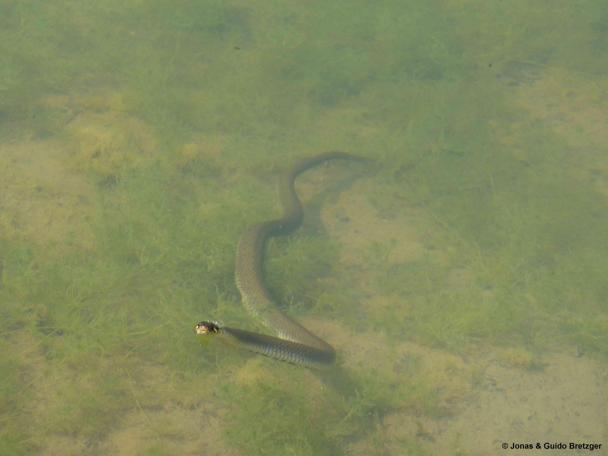 Ringelnatter im Gewässer