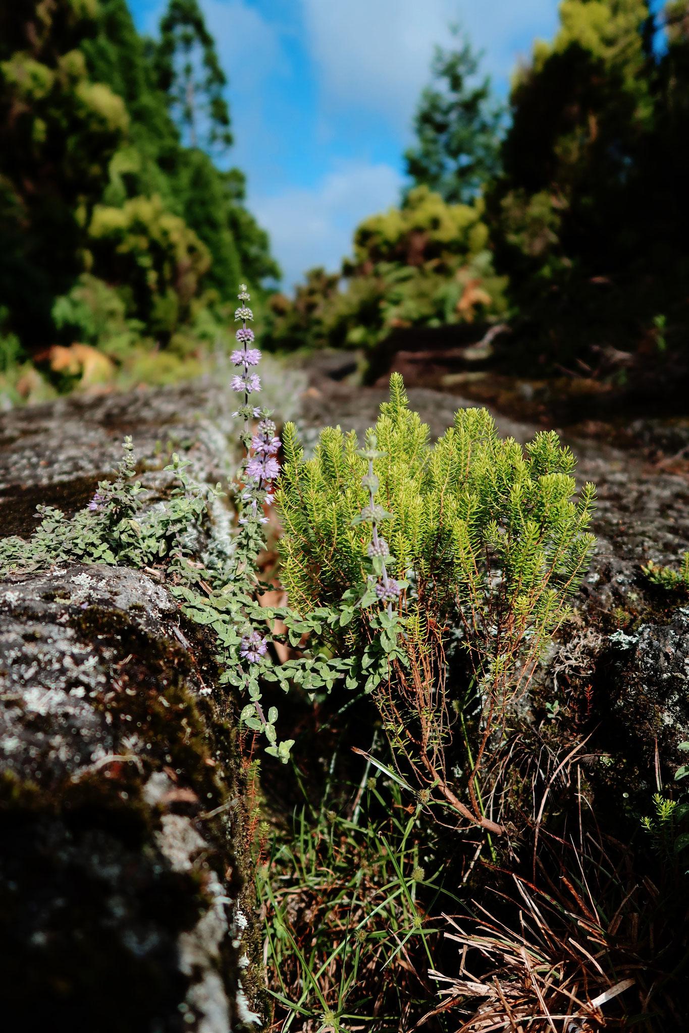 Ochsenkarrenspuren auf Terceira