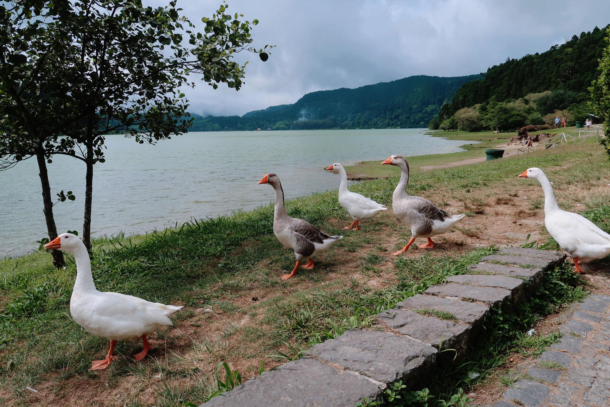 Gänse am Lagoa das Furnas