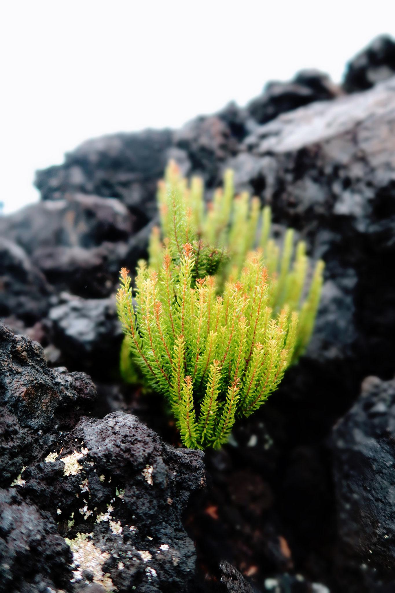 Vegetation im Lavafeld auf Terceira