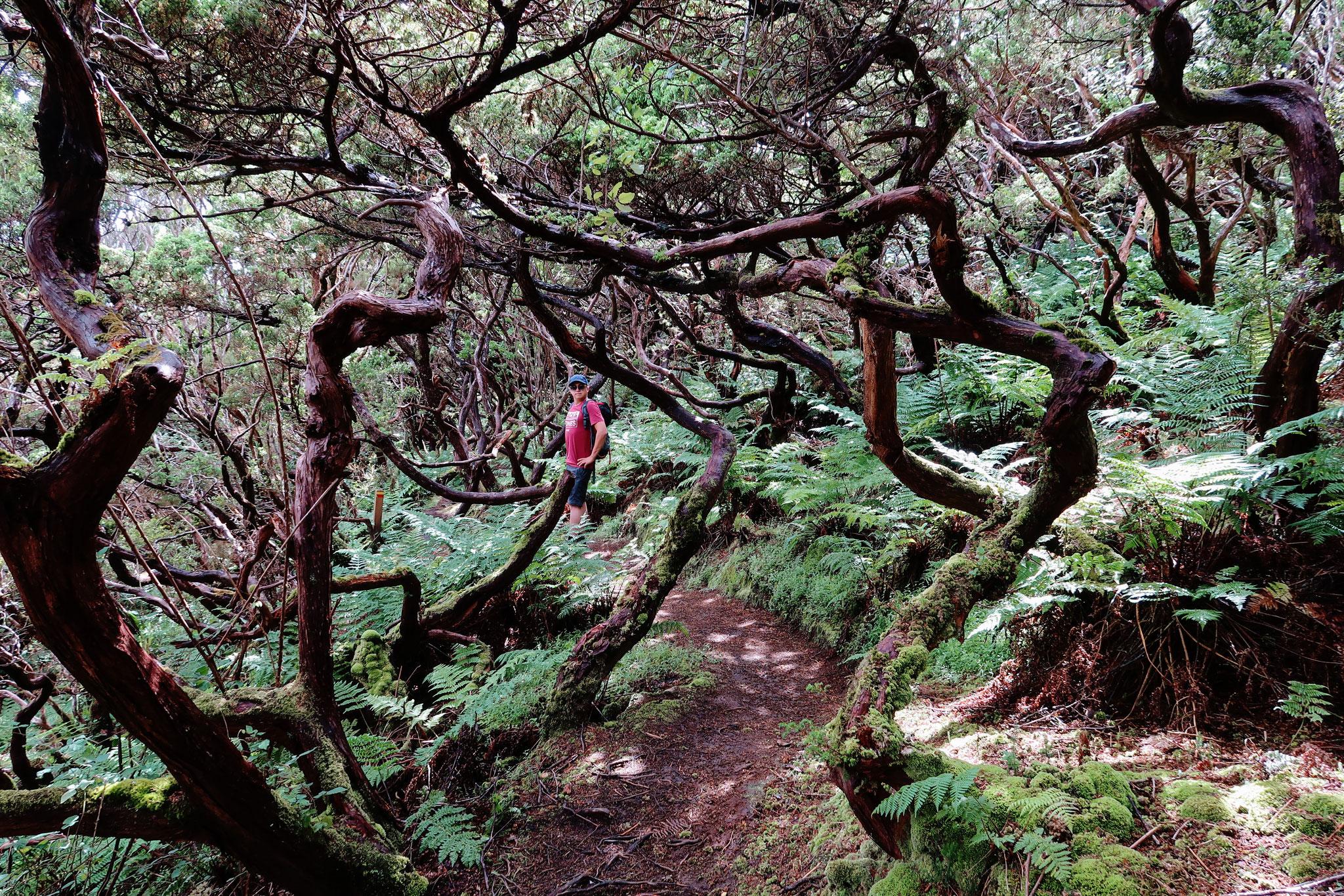 Wacholderwald auf Terceira