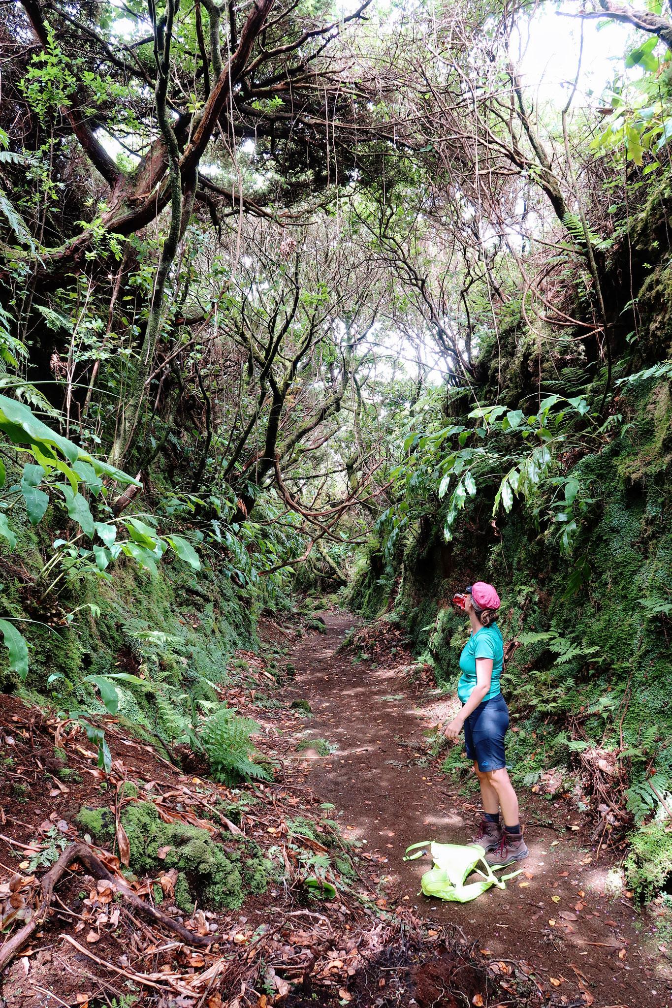 ursprünglicher Nebelwald auf den Azoren