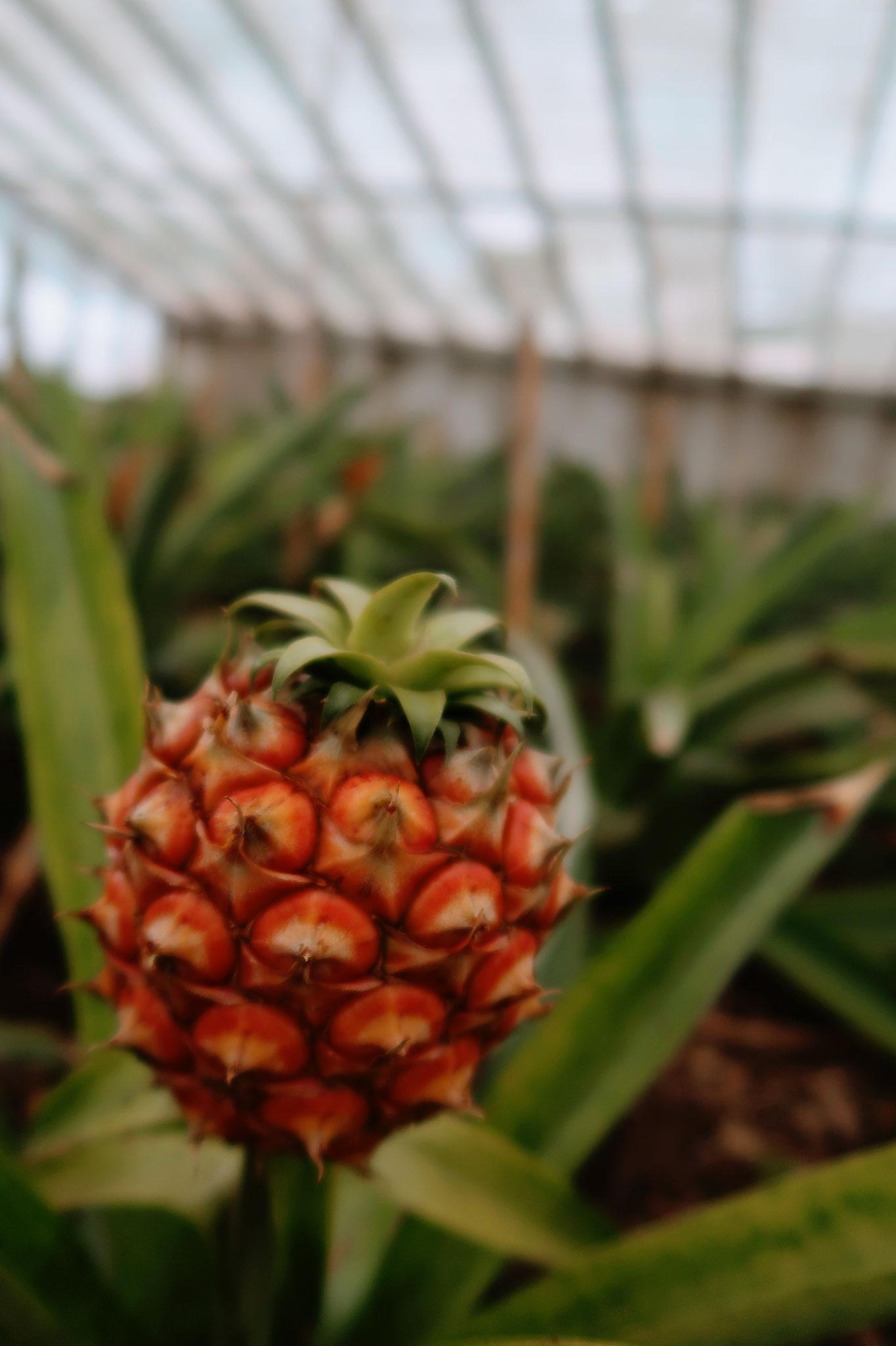 Baby Ananas - Ananasplantage Arruda auf Sao Miguel